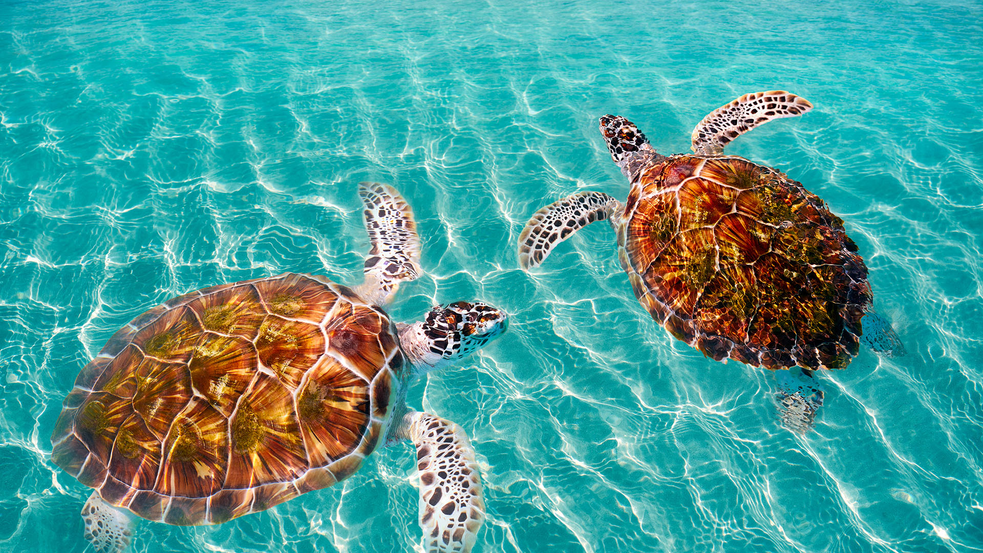 Nadar con tortugas en las aguas cristalinas es otra de las actividades preferidas de quienes visitan las Islas Caimán.