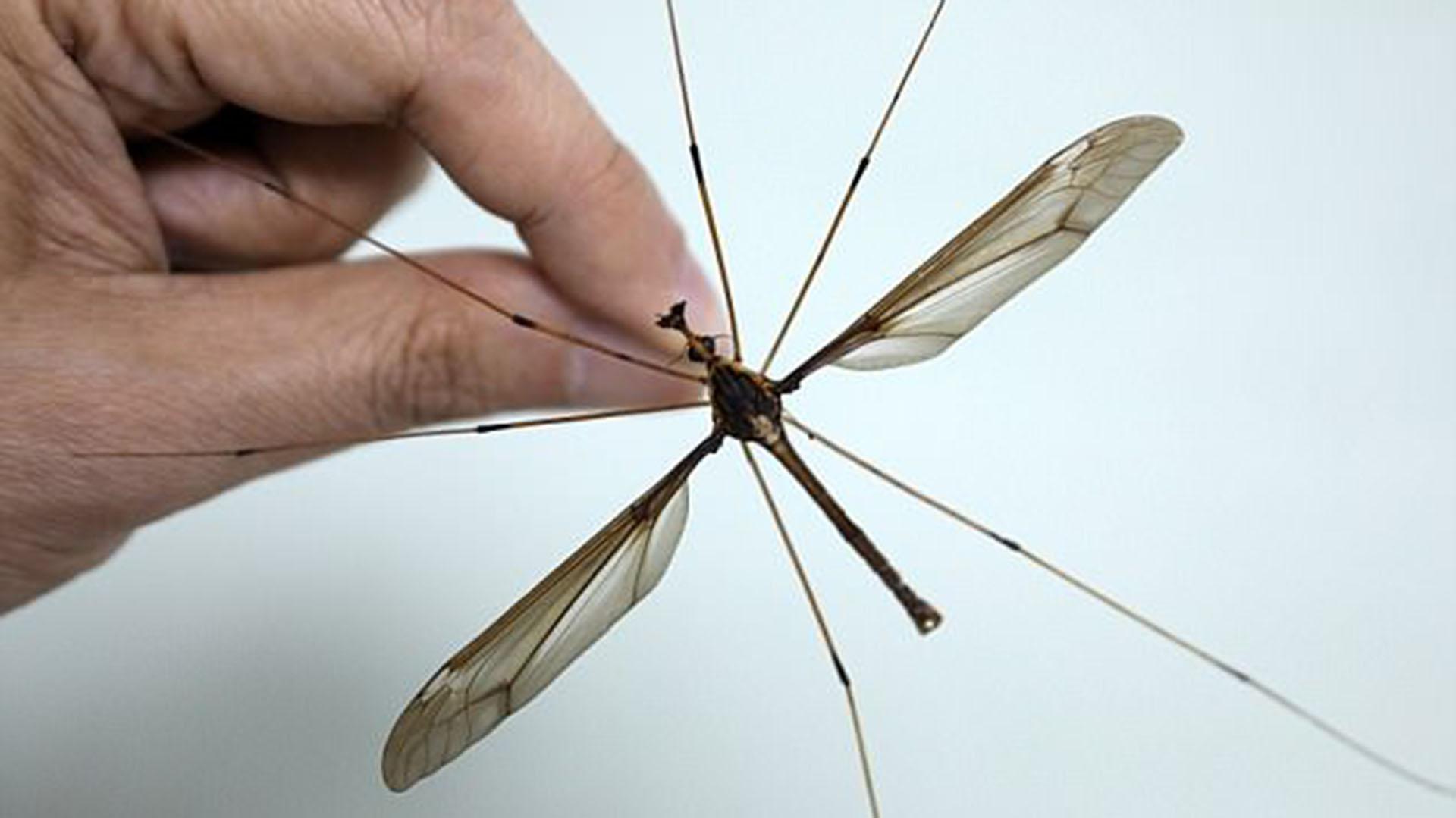 cuanto tiempo vive el mosquito