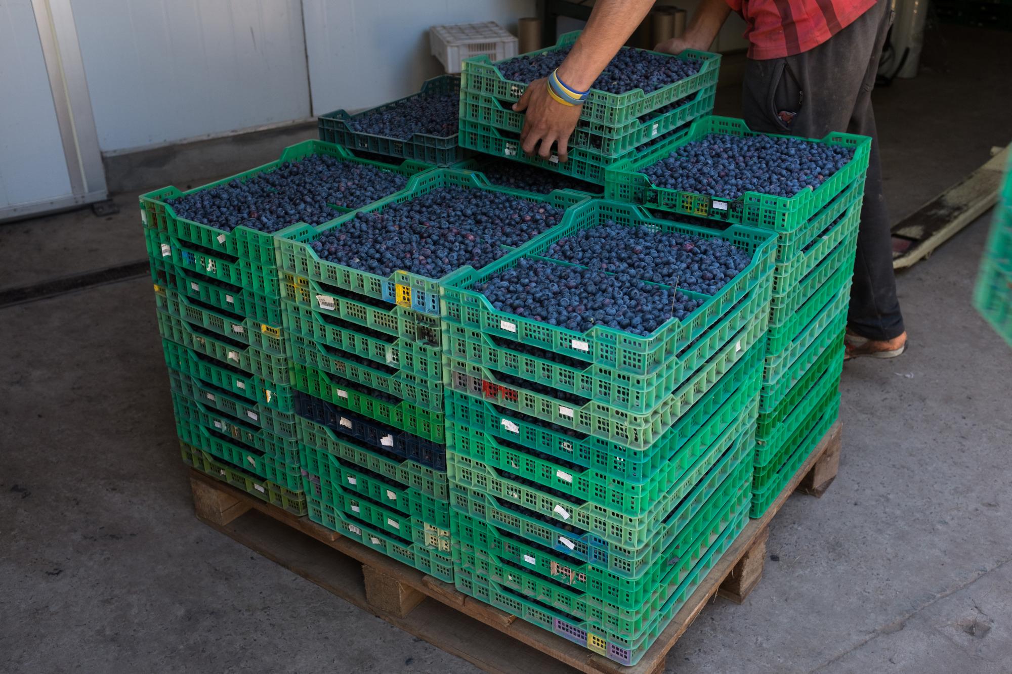 Varias cajas con arándanos en una planta de Zarate, en Buenos Aires (Argentina) (Bloomberg / Erica Canepa)