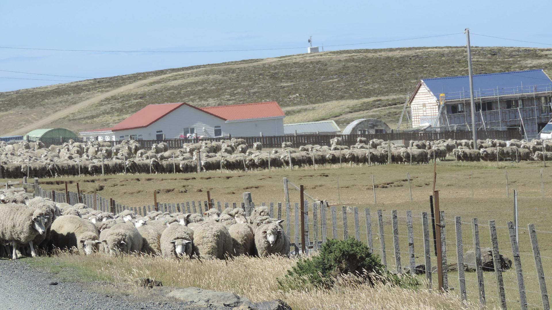 En la actualidadhay 84 granjas activas en las Islas Malvinas.