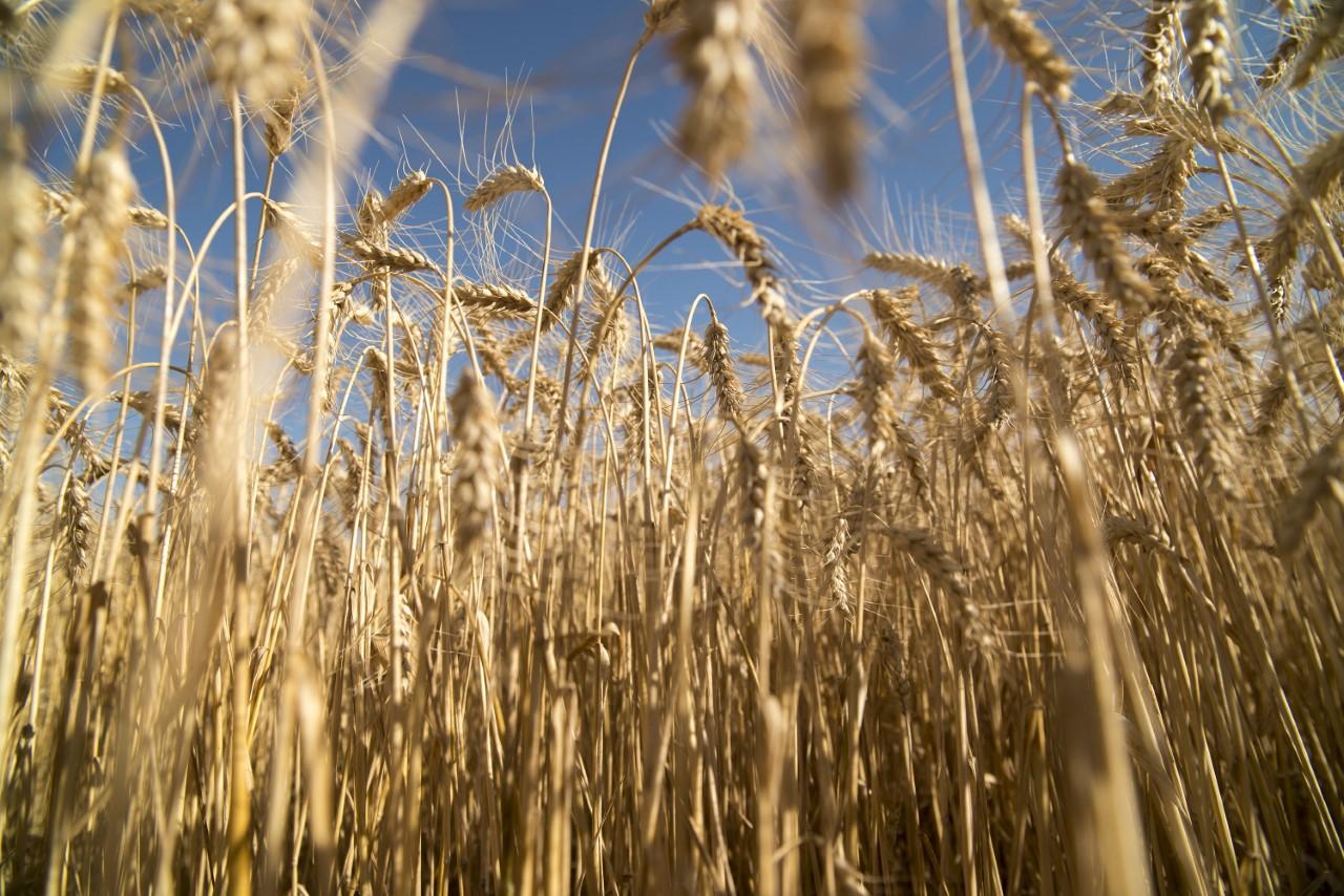 Si en el caso de que la mejora climática no acompañe durante la ventana de siembra del cereal, la siembra se reduciría a 5.400.000 hectáreas, un 5% inferior a la campaña anterior