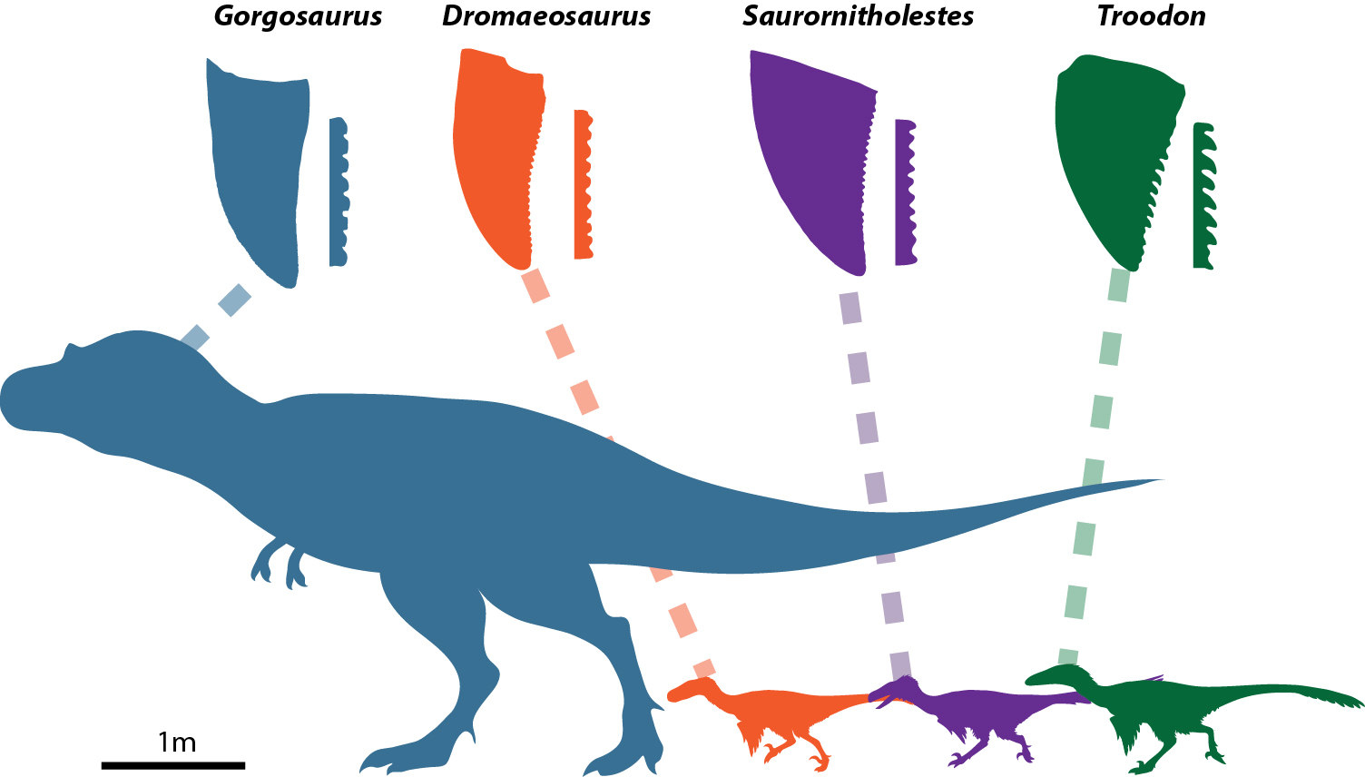 """Cuatro especies diferentes de dinosaurio terópodo y sus diversas formaciones dentales (Victoria Arbour. Revista """"Current Biology"""")"""