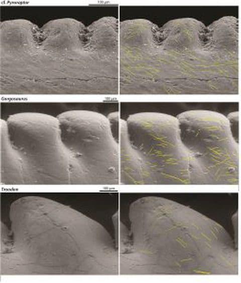 """Los patrones de """"microwear"""" marcados en amarillo en los dientes de tres especies (Angelica Torices y Victoria Arbour/ Revista """"Current Biology"""")"""