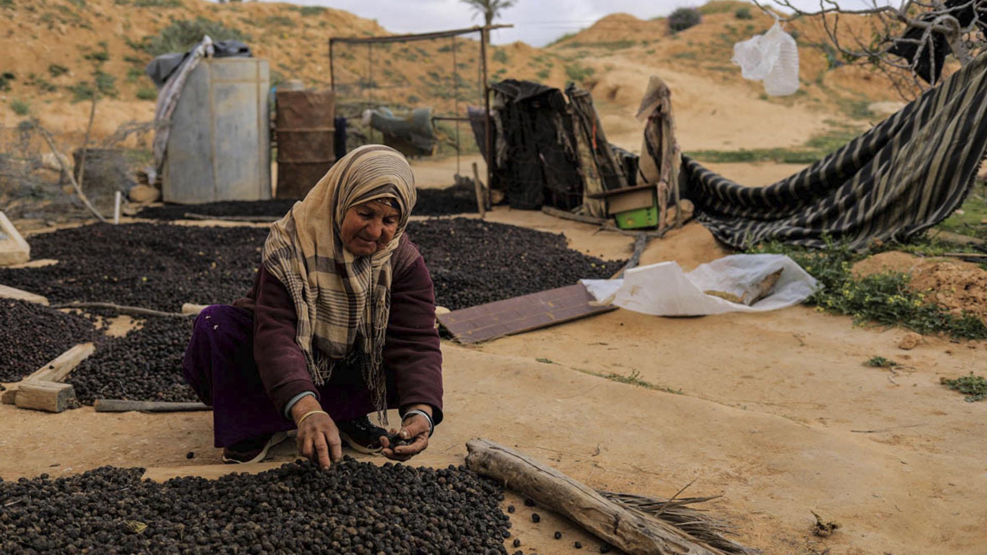 La recolección de aceitunas. La zona está poblada por olivos