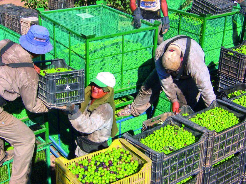 San Juan, La Rioja y Catamarca superaron a Mendoza en el ranking de productores olivícolas por las ventajas climáticas, geográficas y de beneficios impositivos