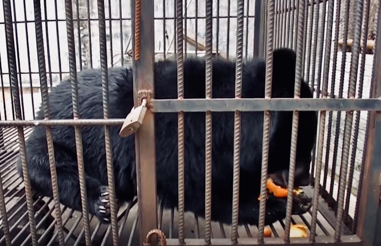 El oso encontró un nuevo hogar pero conserva su apetito voraz por las frutas