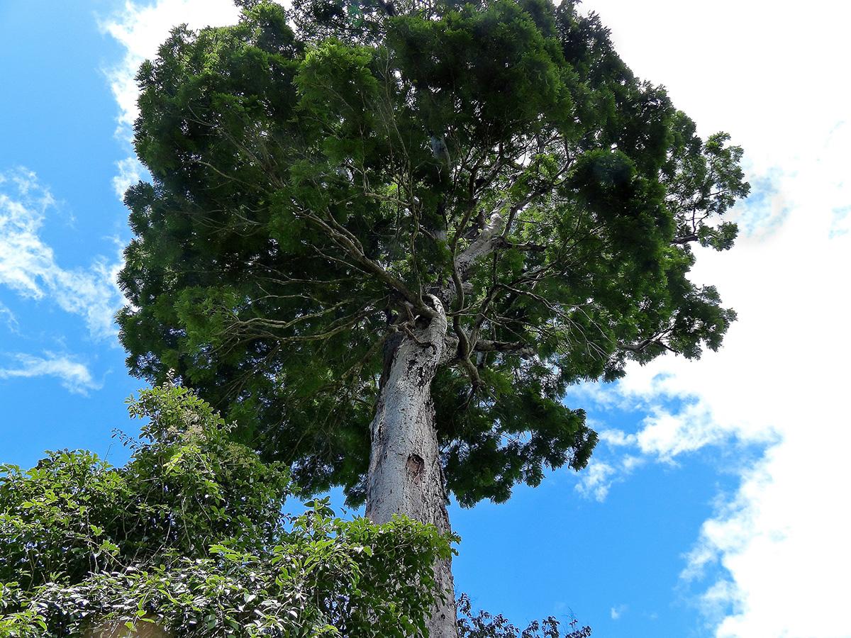 Dinizia jueirana-facao, un árbol majestuoso encontrado en Brasil, puede alcanzar los 40 metros de altura y un peso de 56 toneladas