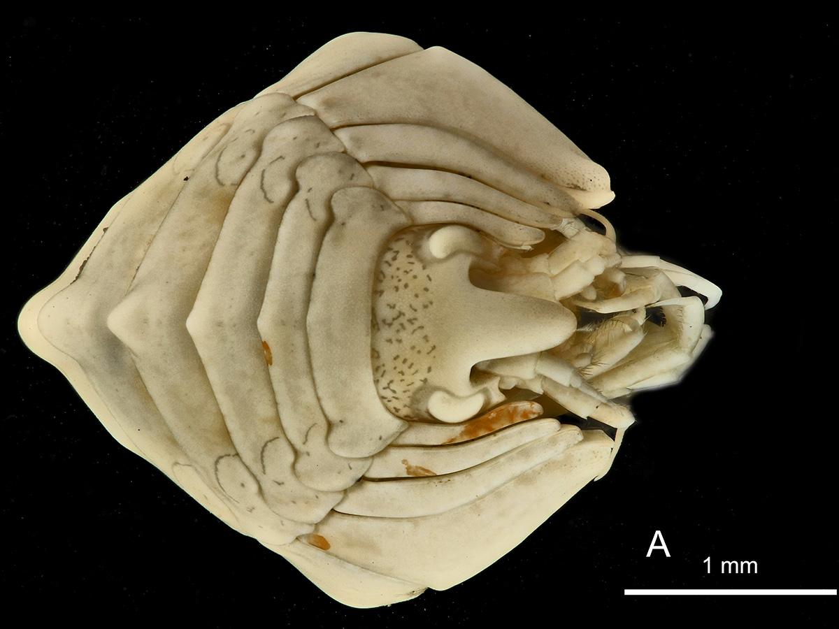 Esta especie es abundante en las aguas glaciales que circulan al sur del Frente Polar, que separa las masas de aire Tropical y Polar, y, según las fotografías reveladas por los científicos, la forma de cresta de su espalda recuerda a la de los dragones mitológicos