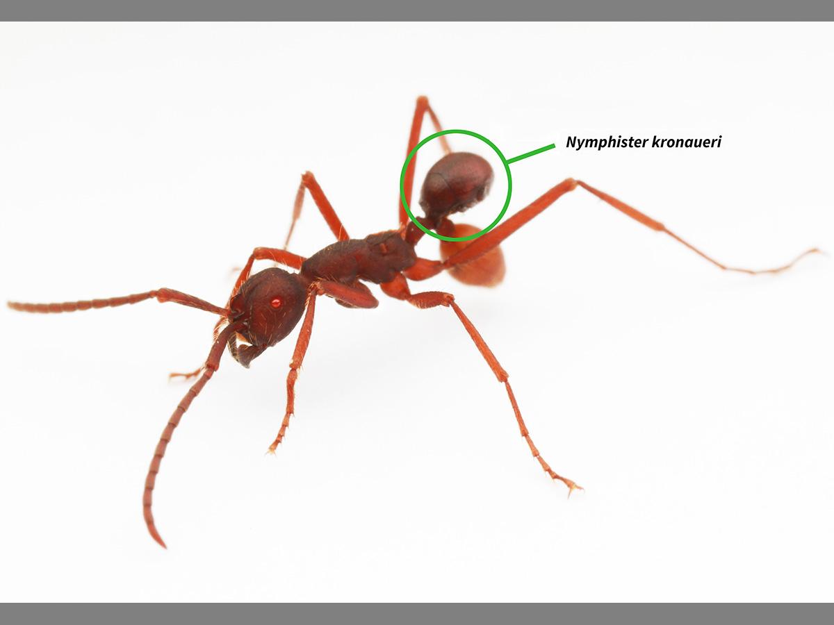 Mide 1,5 milímetros y tiene la forma y el color adecuado para posarse sobre las hormigas obreras