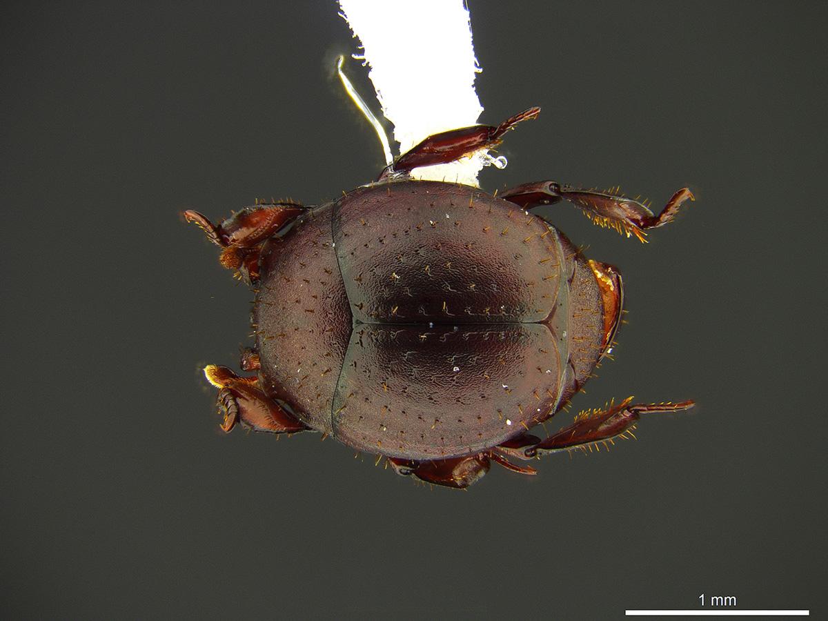 El escarabajo Nymphister kronaueri, que habita en Costa Rica, se camufla en los cuerpos de un tipo de hormiga, aunque es nómade y va paseando entre varios ejemplares