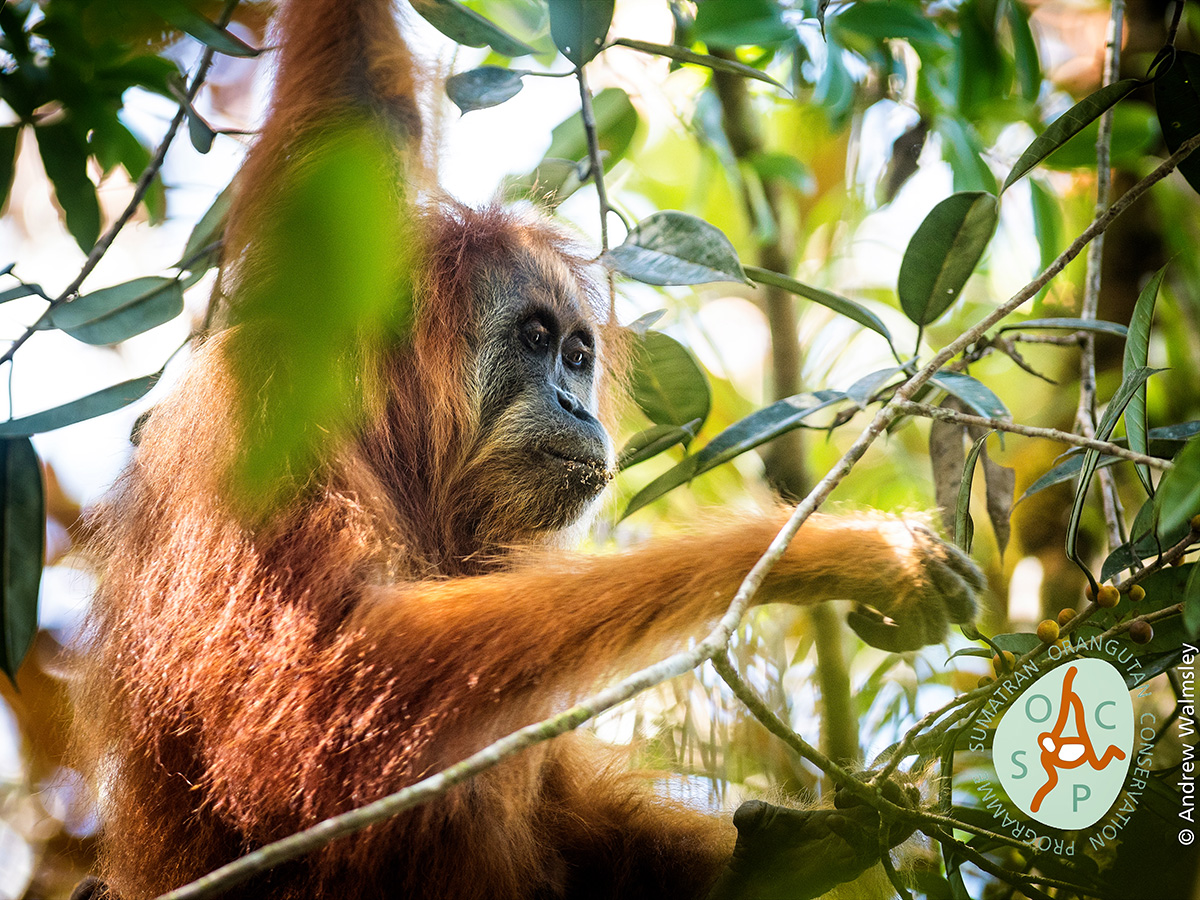 El orangután tapanuli, Pongo tapanuliensis, es un raro tipo de simio que vive en una región aislada en la isla de Sumatra, en Indonesia, que hasta ahora era considerado de la misma especie que otros simios que habitan la misma zona
