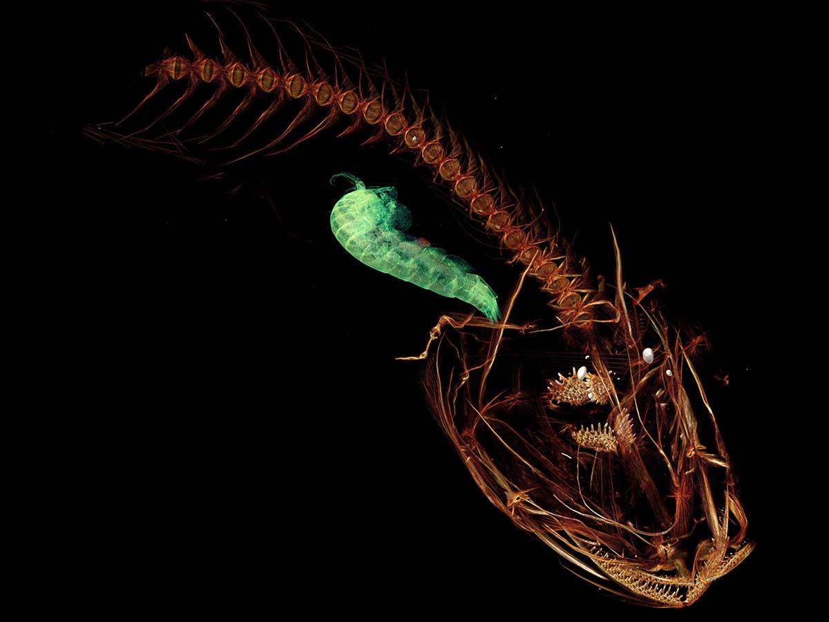 El Pseudoliparis swirei es el pez que más profundo habita en el océano, a casi 8 mil metros bajo el nivel del mar