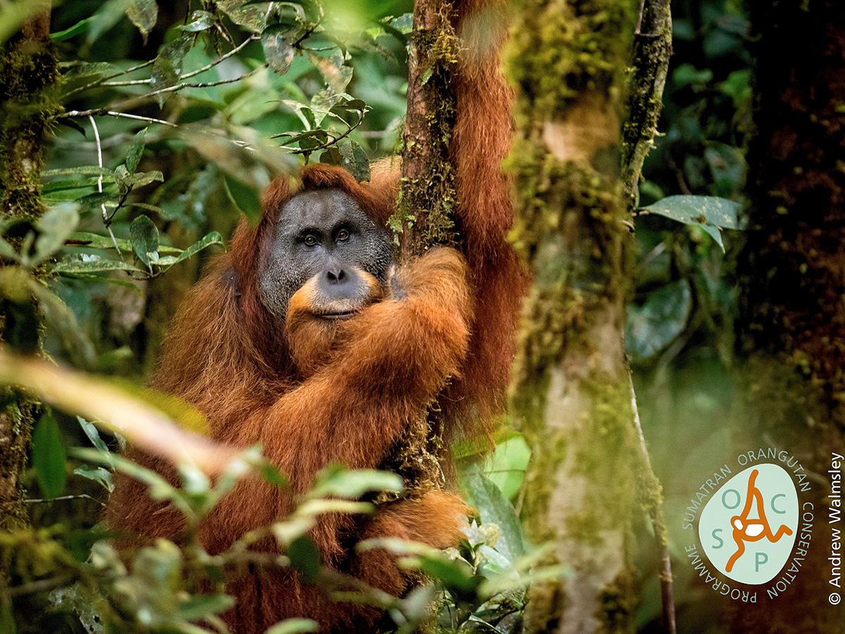 Un grupo internacional de investigadores examinó la evidencia genómica, morgométrica y conductual de estos animales y concluyó que este tipo de orangután es distinto a los que habitan al norte de Sumatra y Borneo