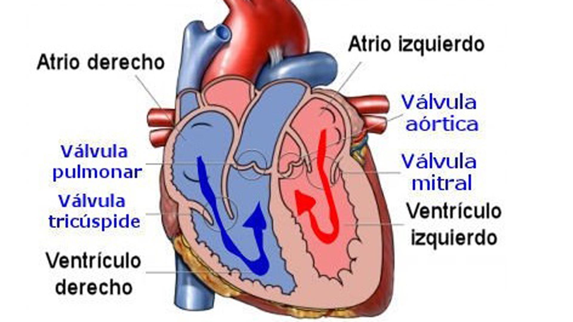 Magnífico Corazón Humano Marcado Friso - Anatomía de Las Imágenesdel ...