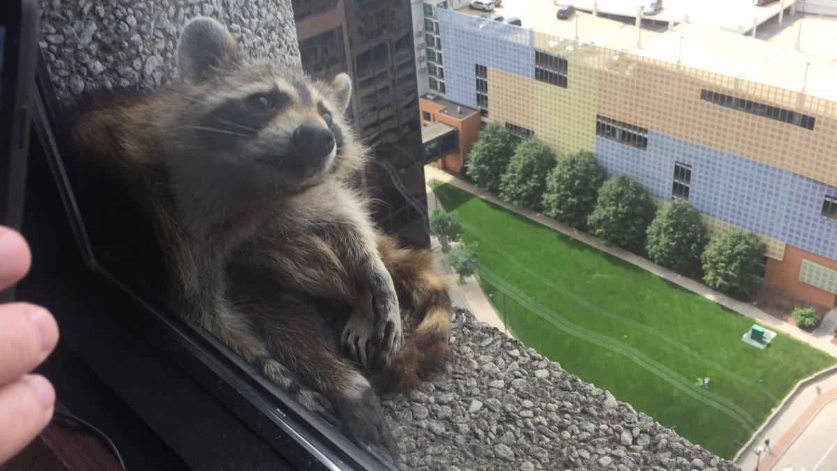 """""""Está en la cornisa de nuestro piso. Parece que va bien. Nos han dicho que el edificio tiene trampas para atrapar animales vivos y que están tratando de que llegue allí. Tendremos que mantener los dedos cruzados"""", tuiteó Paige Donnelly, de una oficina de abogados ubicada en el edificio, tuiteó Sheila Donnelly-Coyne"""