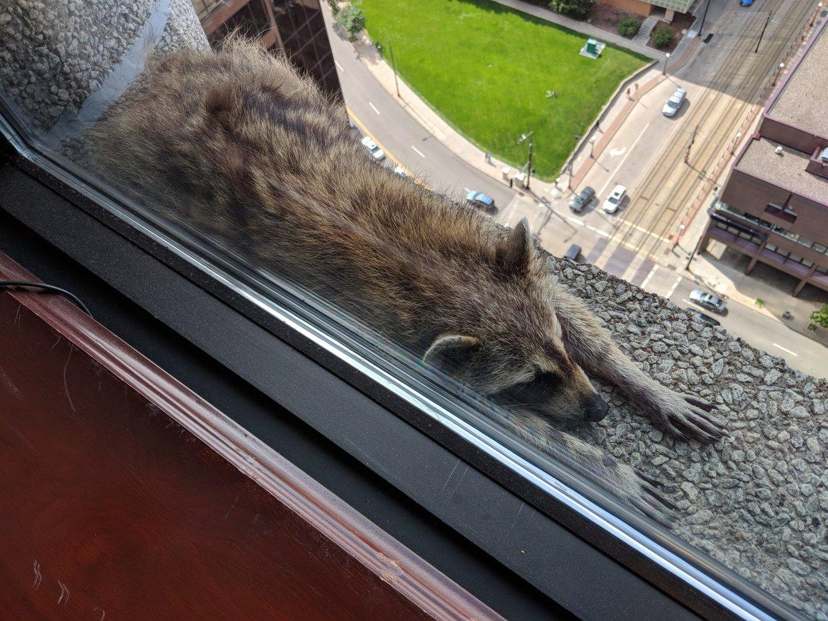 Un mapache que se quedó varado el martes en la cornisa de un edificio en St. Paul, Minnesota