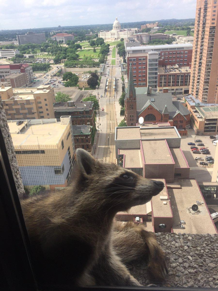 Mapache escala edificio en Minnesota y causa sensación