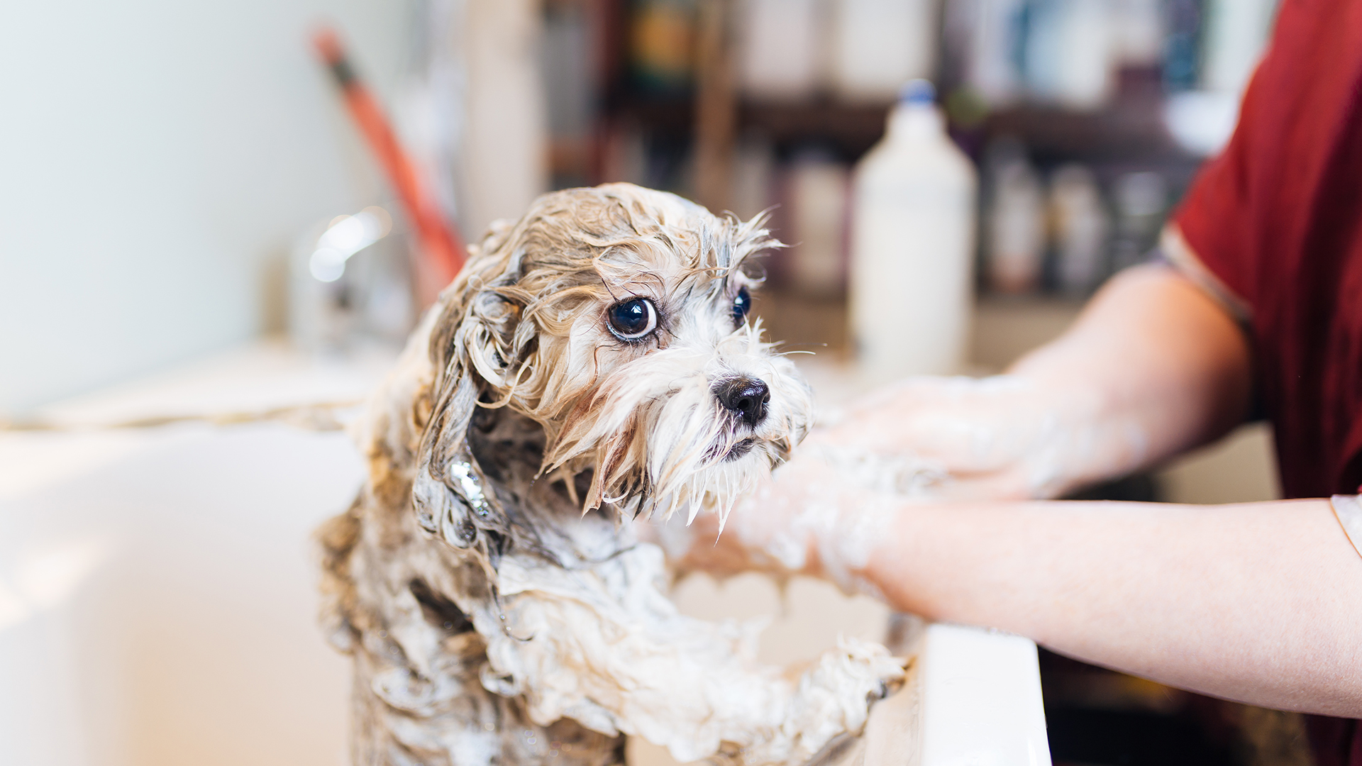 Recomiendan bañar a las mascotas para sacarles el cloro de la pileta de su piel(Getty Images)