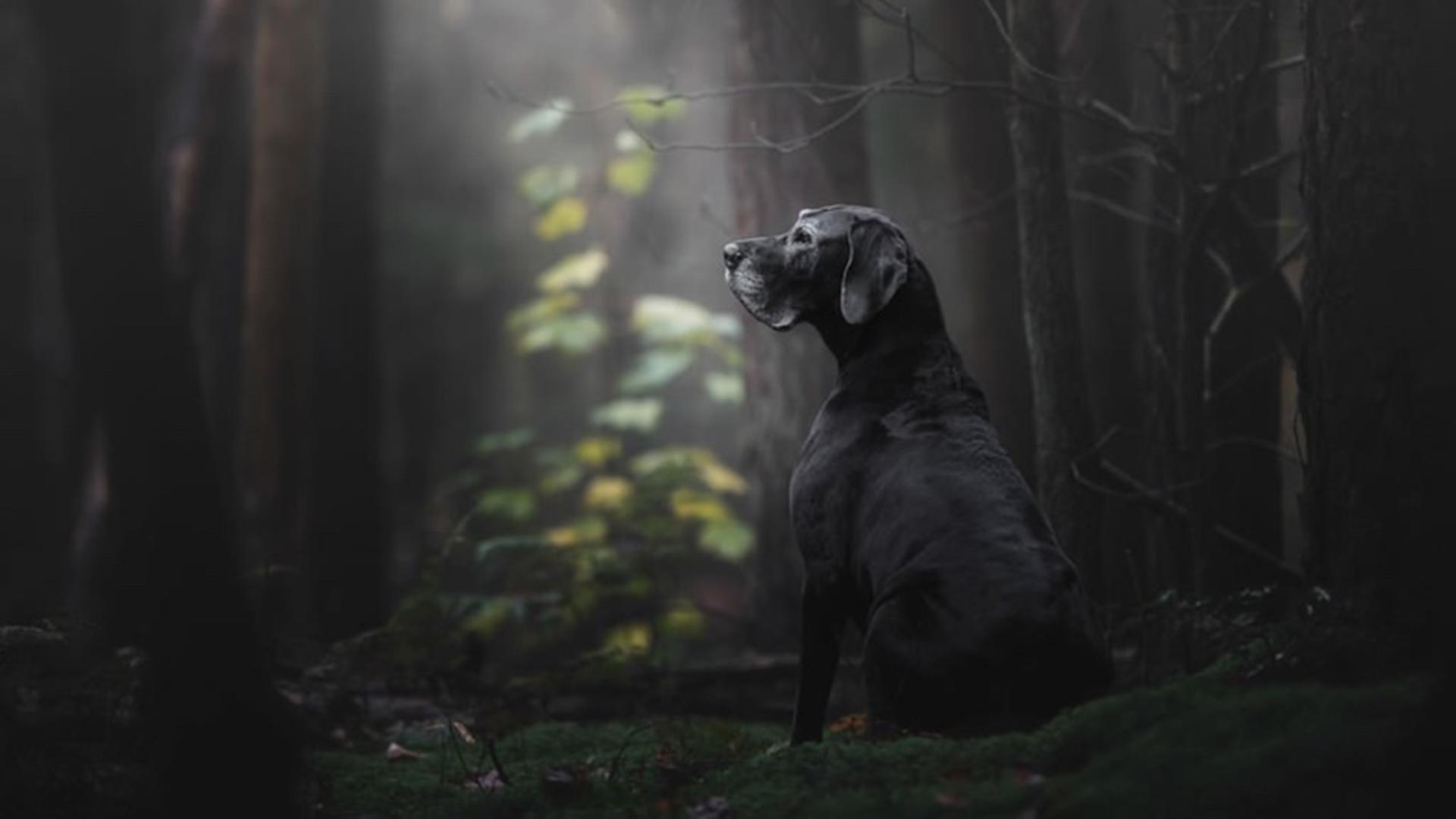 """La categoría """"Viejitos"""" tiene en su primer puesto a Noa, una Gran Danés. En la descripción, la dueña y autora de esta fotografía afirmó que la imagen fue tomada en las primeras horas de la mañana en el bosque: """"Creo que capturé la esencia de su alma"""" (Monica van der Maden)"""