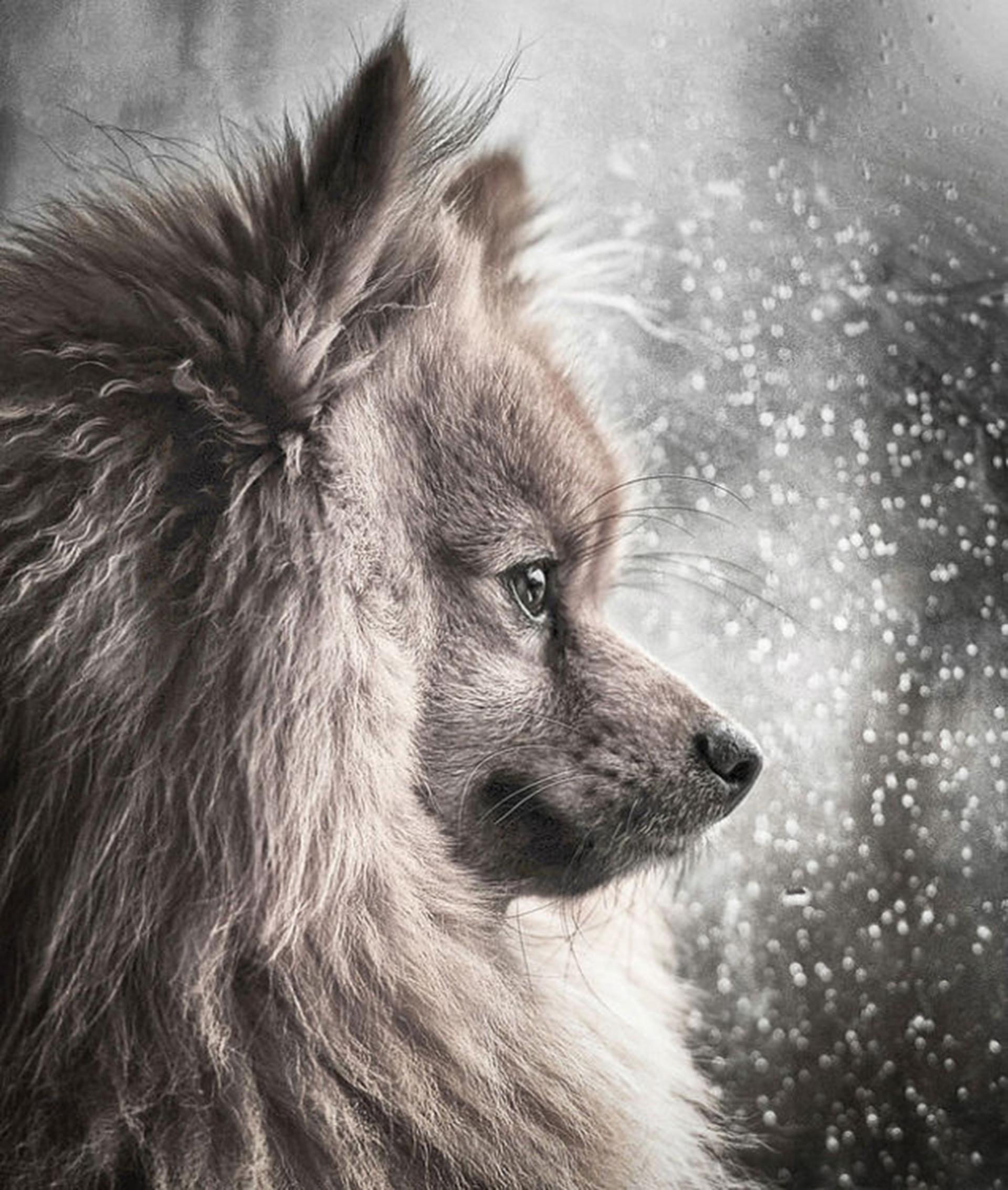 """Su nombre es Hugo, un pomerania que conquisto la lente de la fotógrafa durante un día de tormenta en Glasgow, y que obtuvo el tercer premio de la categoría """"Retratos de perros"""" (Michael M Sweeney)"""