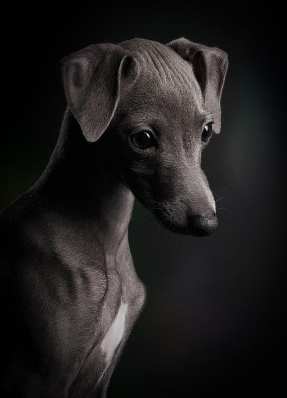 """La categoría """"cachorros"""" es para aquellos que tengan menos de seis meses. En la fotografía se encuentra un retrato de Ceylin, una perrita oriunda de Italia. """"Podés ver que en la mirada del cachorro de 13 semanas que tiene toda la vida por delante"""", relató su autor (Klaus Dyba)"""