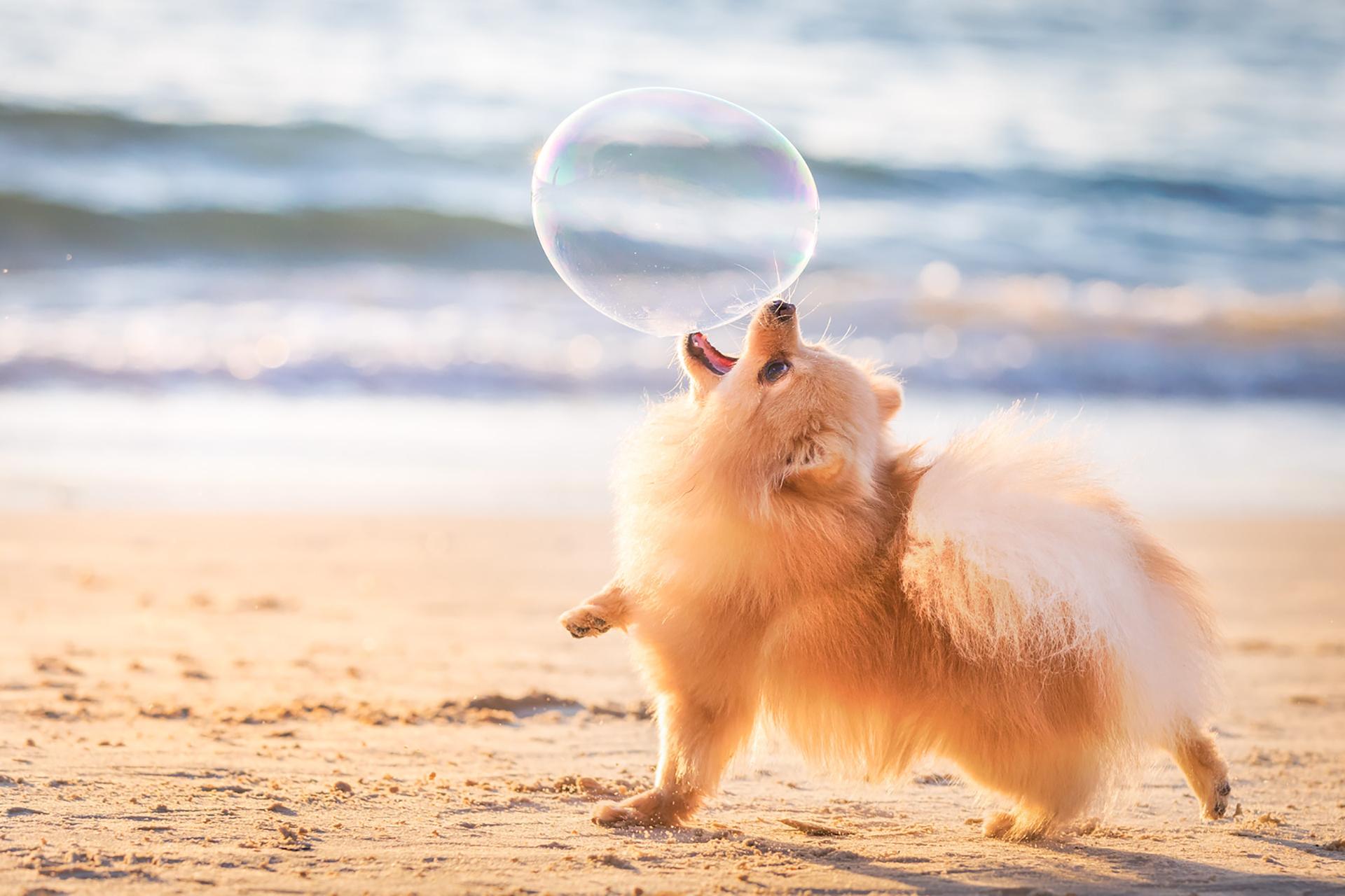 """En la categoría """"cachorros felices y jugando"""" se encuentra en el primer puesto Lili jugando con una burbuja en la playa antes de que se ponga el sol. """"Esta toma fue en el momento preciso donde se puede ver a una perrita siendo libre y feliz"""", describió su dueña (Elinor Roizman)"""