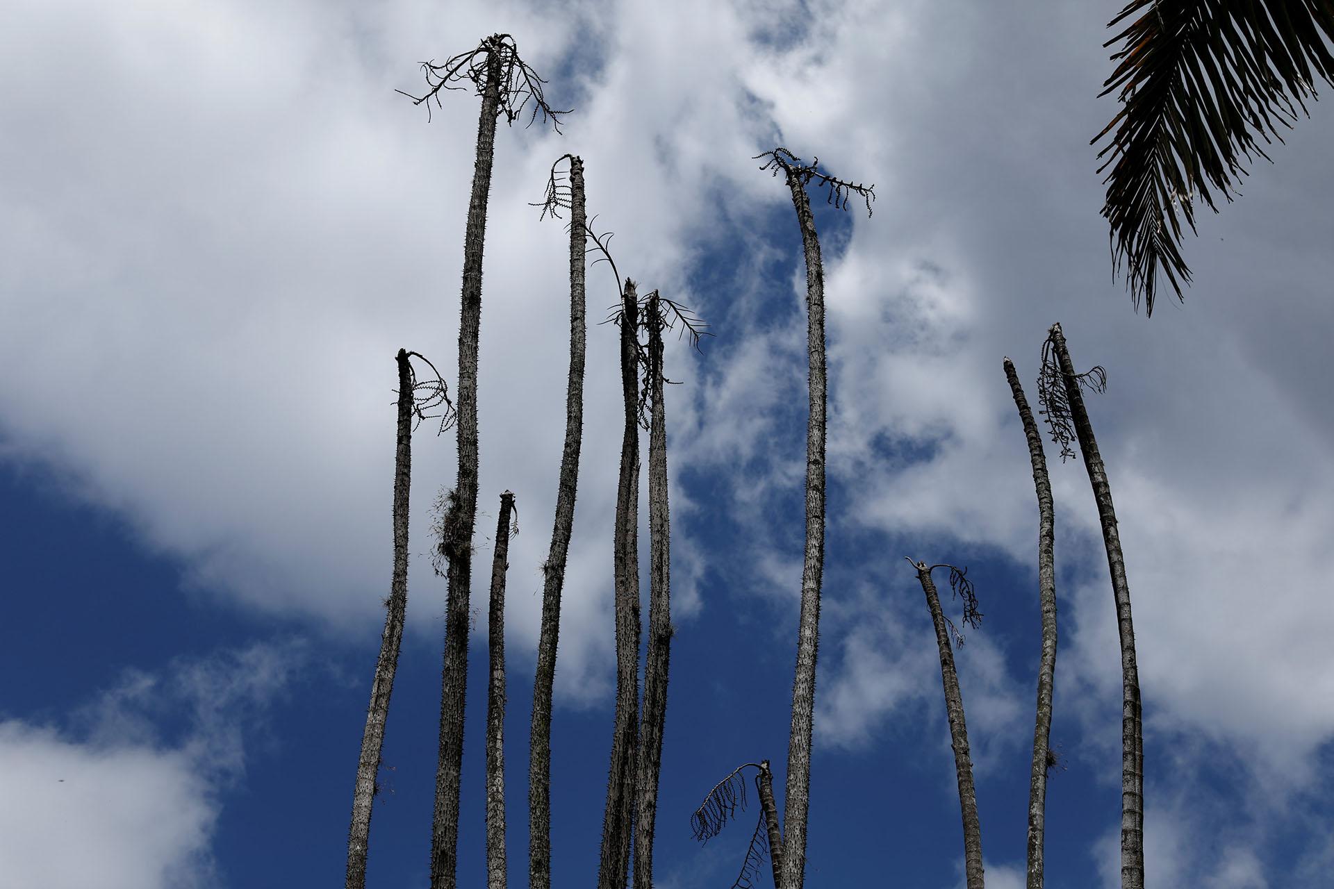 Palmeras muertas se destacan en el panorama del lugar