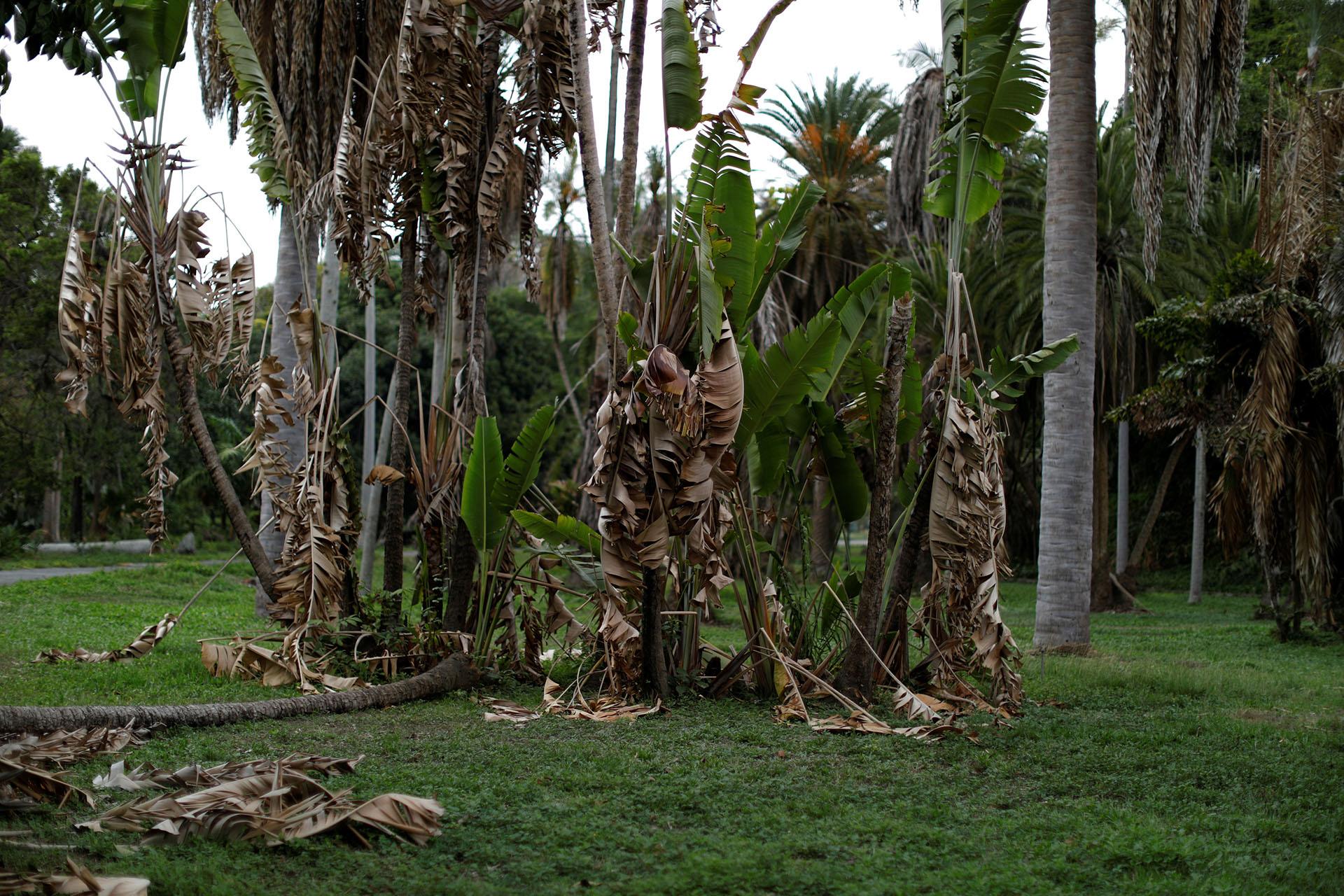 El Jardín, alguna vez visto como un orgullo capitalino, llegó a tener una colección de 300 distintos tipos de palma, por ejemplo, pero en los últimos años ha perdido al menos un centenar, según Mauricio Krivoy, director del parque