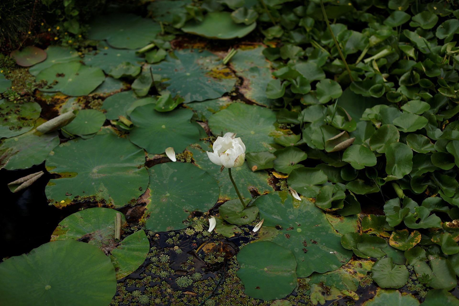 Un lirio florece en la laguna a medio llenar