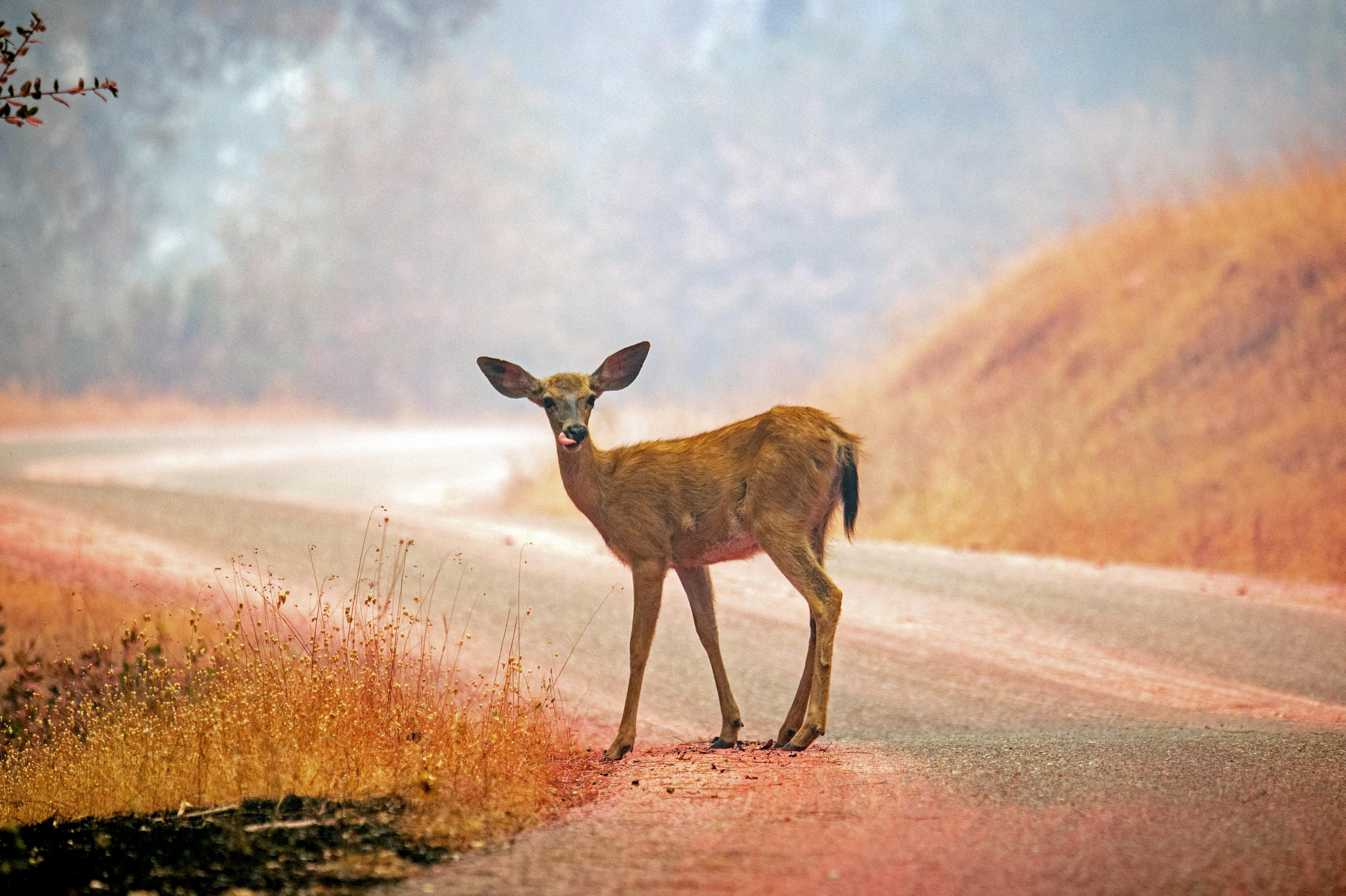 Un ciervo cerca de la ciudad de Igo (AFP/ Josh Edelson)