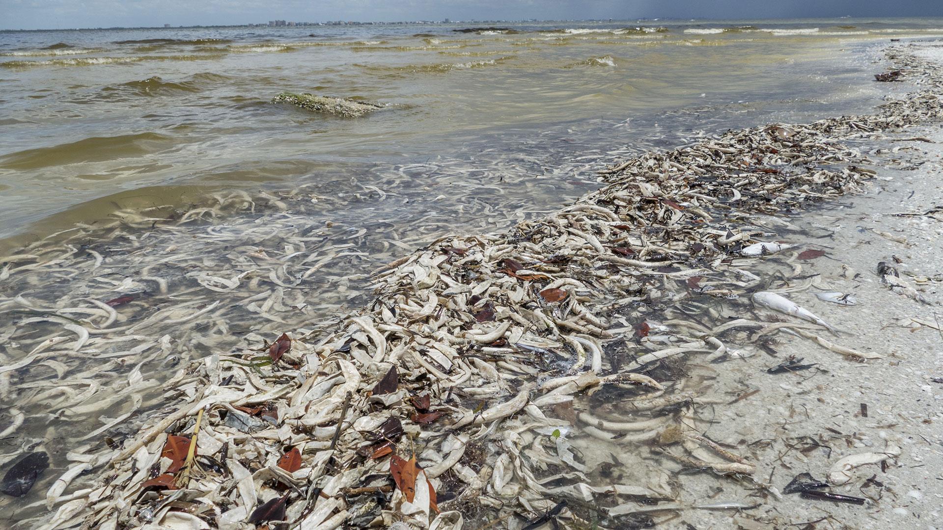 Efectos de la marea roja en la Florida (EFE)
