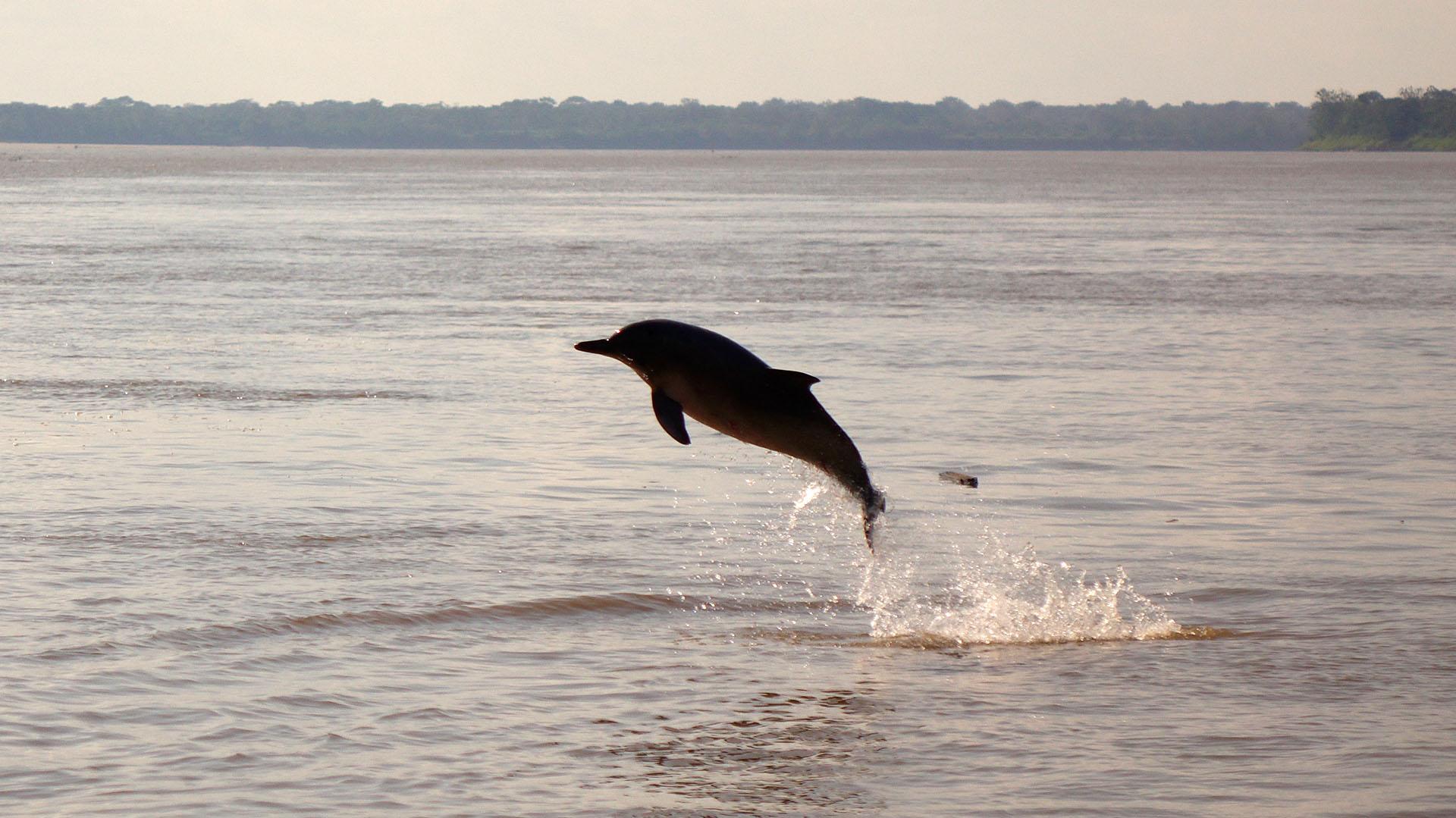 Una imagen de archivo de un delfín nadando en el río Amazonas(Getty)