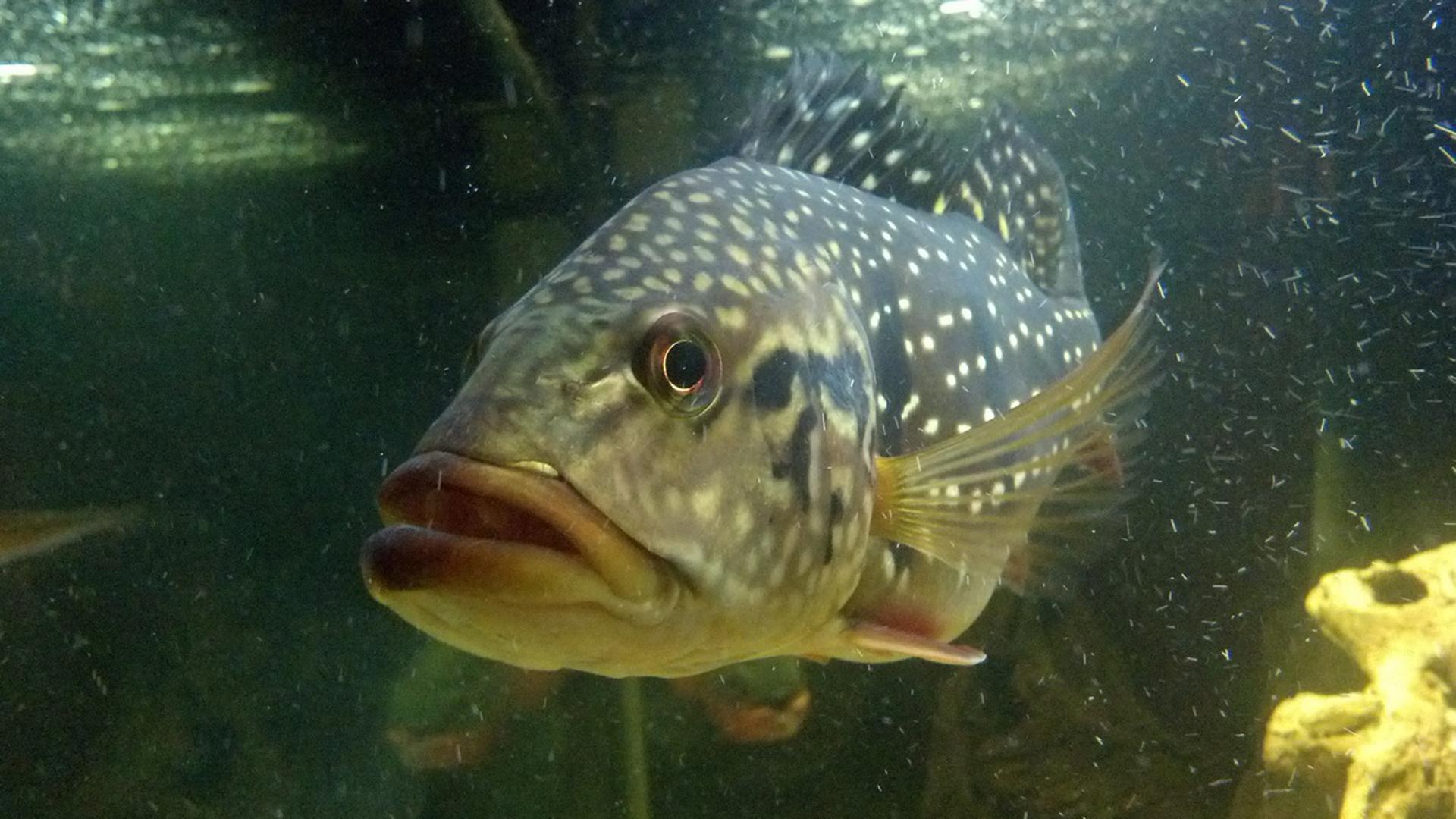 Científicos lograron un 115% de contenido de ácido graso omega-3 en los peces de agua dulce