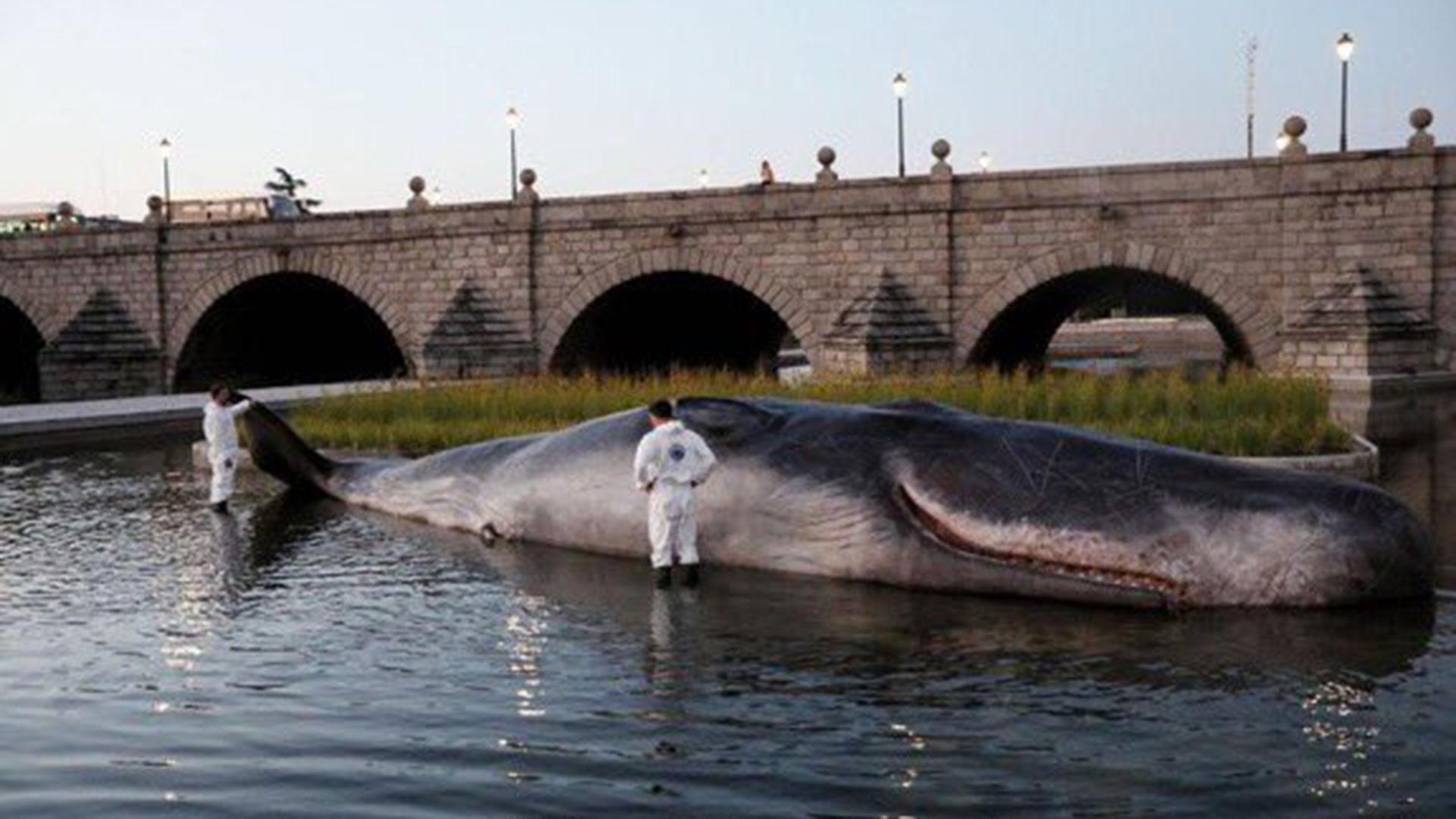 Miles de madrileños y turistas vieron a un gran cachalote varado en el río Manzanares, a la altura del Puente de Segovia