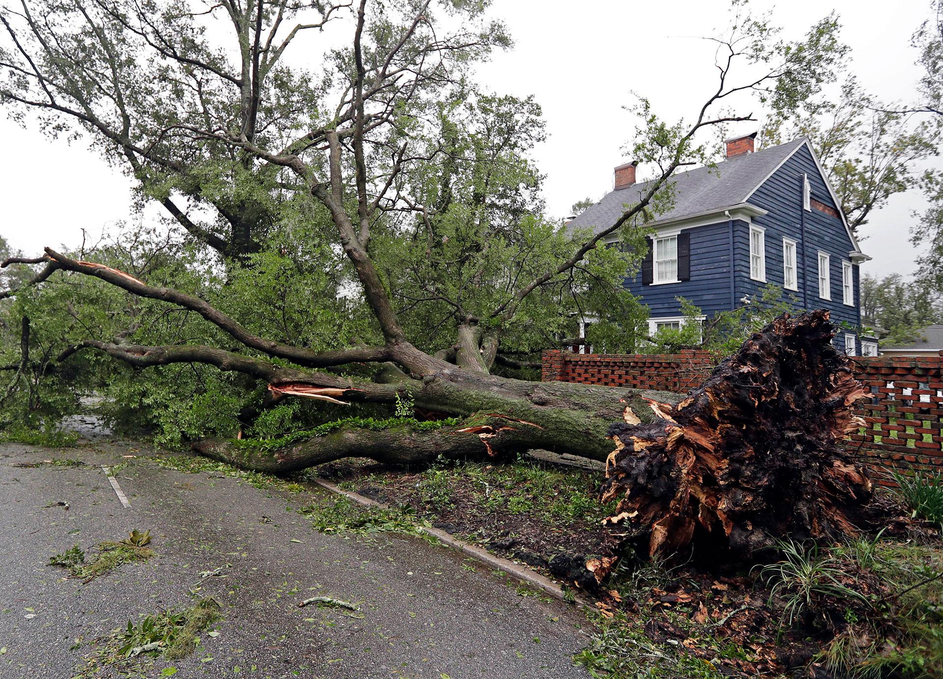 Uno de los árboles arrancados de raíz (AP)