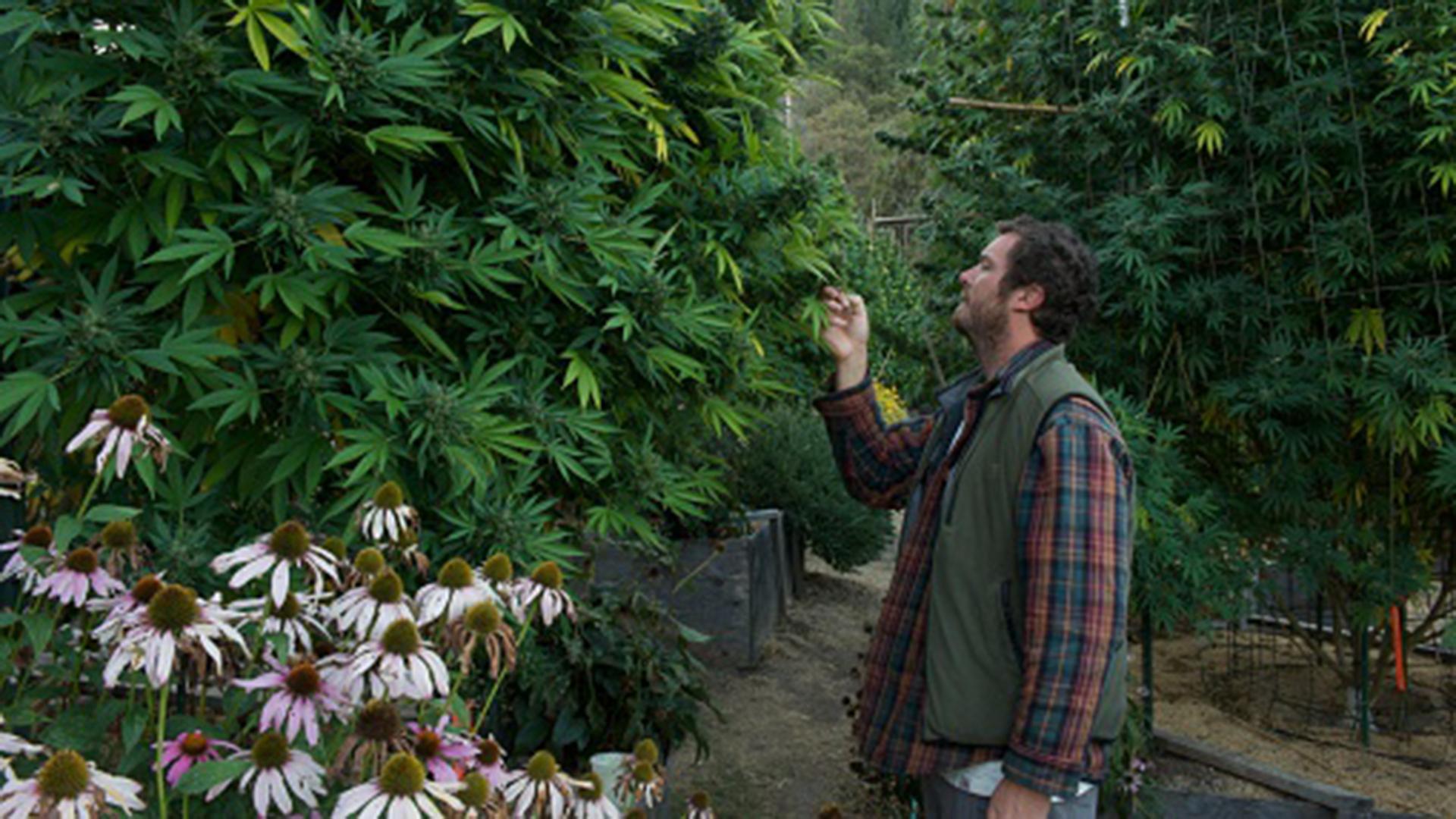 El cultivo personal en Canadá esta permitido (Getty Images)