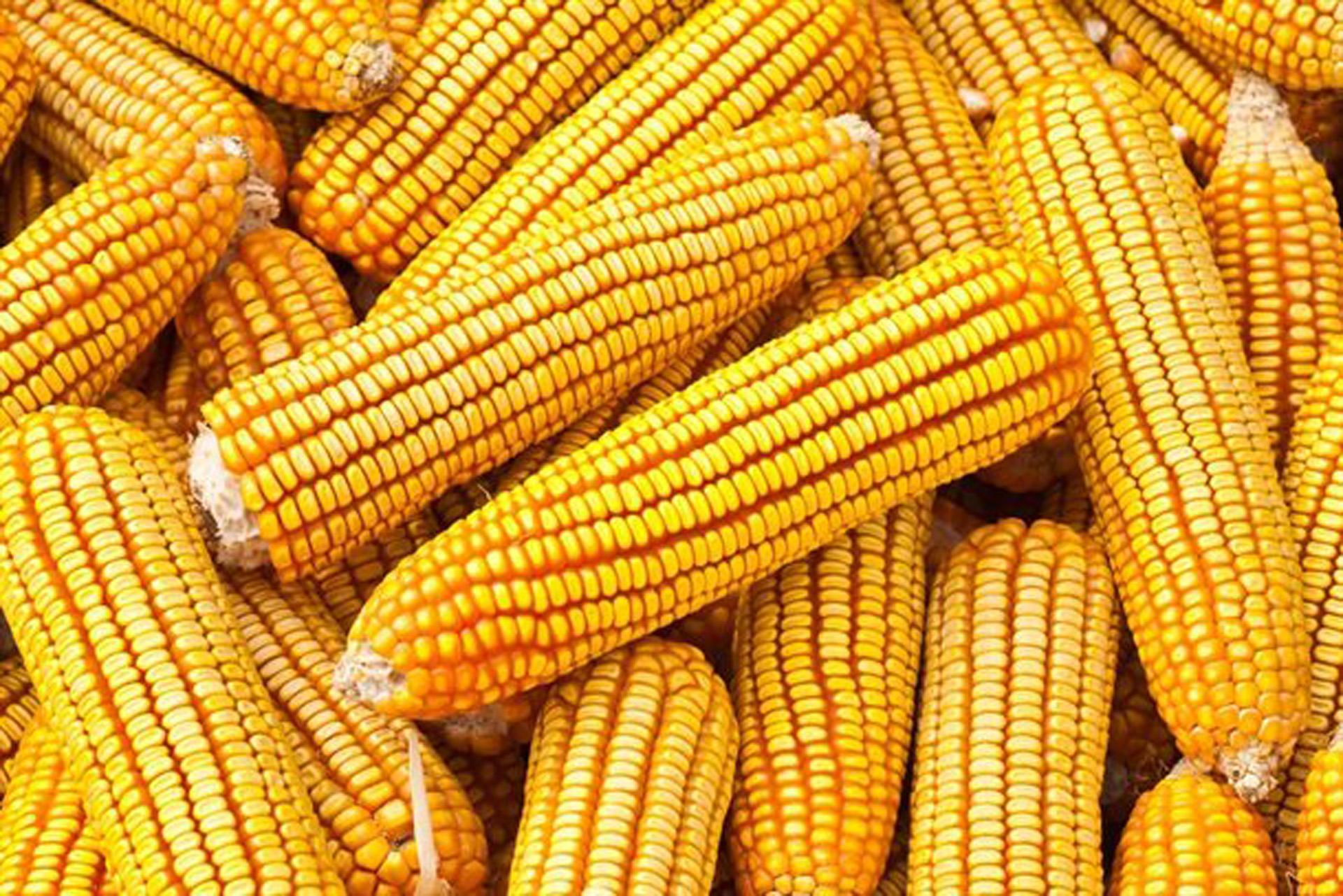 El maiz superará las 47 millones de toneladas, un 48% de incremento con respecto a la campaña anterior