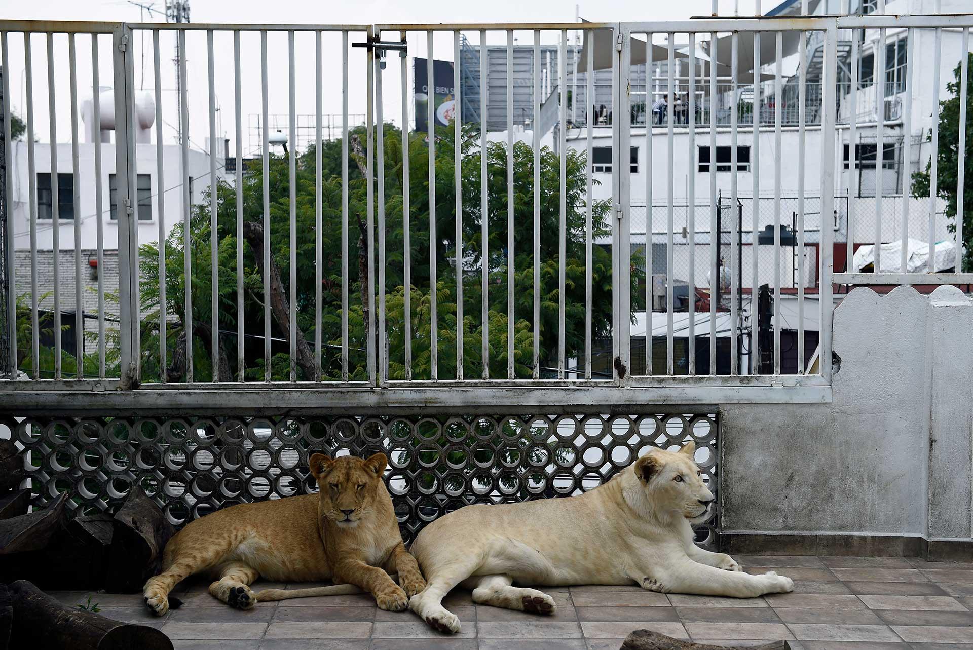 Los leones blancos son una subespecie muy rara en el mundo animal producto de un gen recesivo inhibidor del color, que está en peligro de extinción