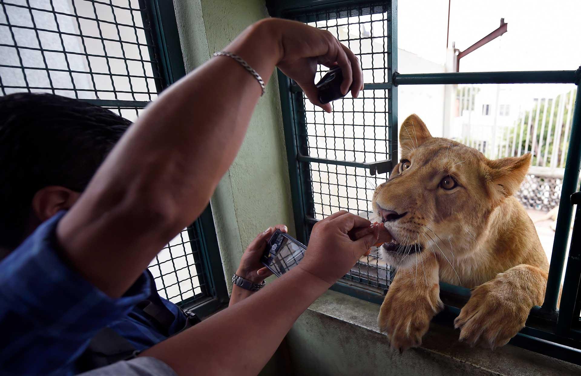"""Omar asegura que su principal motivación es conservacionista, para que sis nietos y los del barrio conozcan a leones blancos, aunque está consciente del riesgo que corren. """"Mis hijos van entendiendo que es un animal al que hay respetar, al que hay que cuidar, también deben entender que no es un perro, es un animal muy fuerte"""", concluye."""