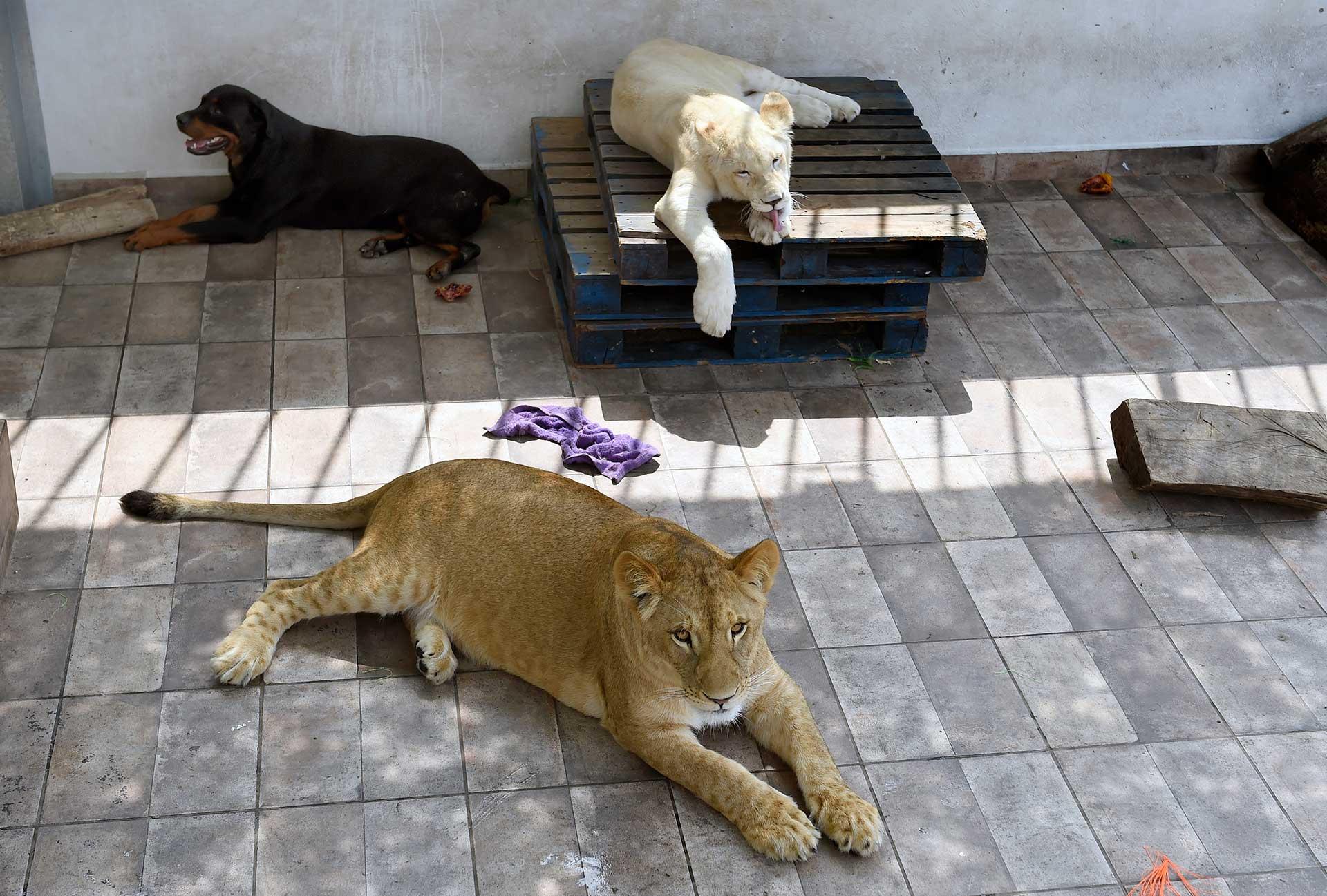 -Los leones no pelean entre ellos y sorprendentemente tampoco con Nerón, un rottweiler al que protegieron una vez de los ladridos de amenaza de otro perro, cuenta orgulloso Omar