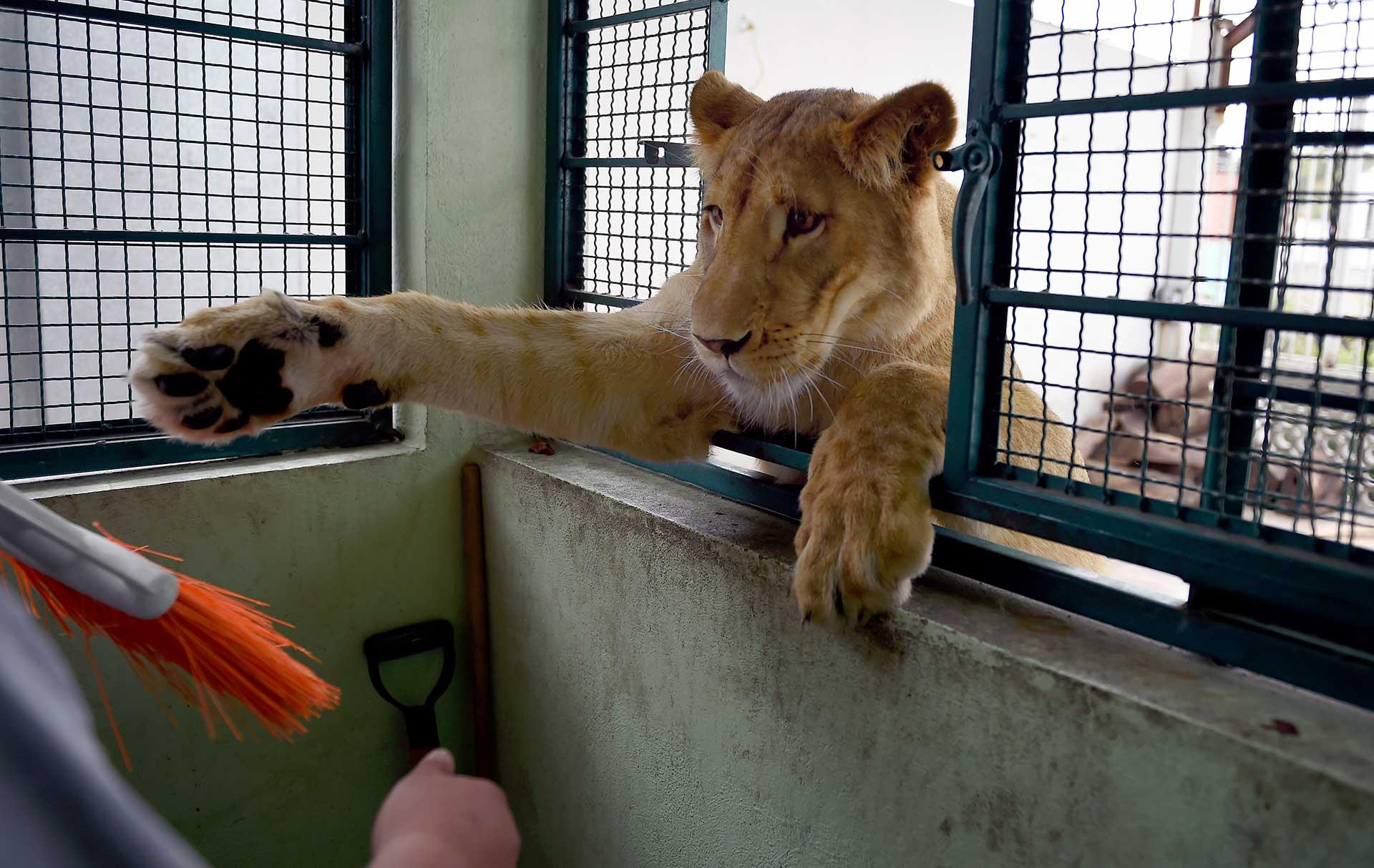 """""""No sé si somos parte de su manada o ellos son parte de la nuestra"""", dice Omar, agregando que """"hay seres humanos que son más peligrosos"""" que sus leones"""