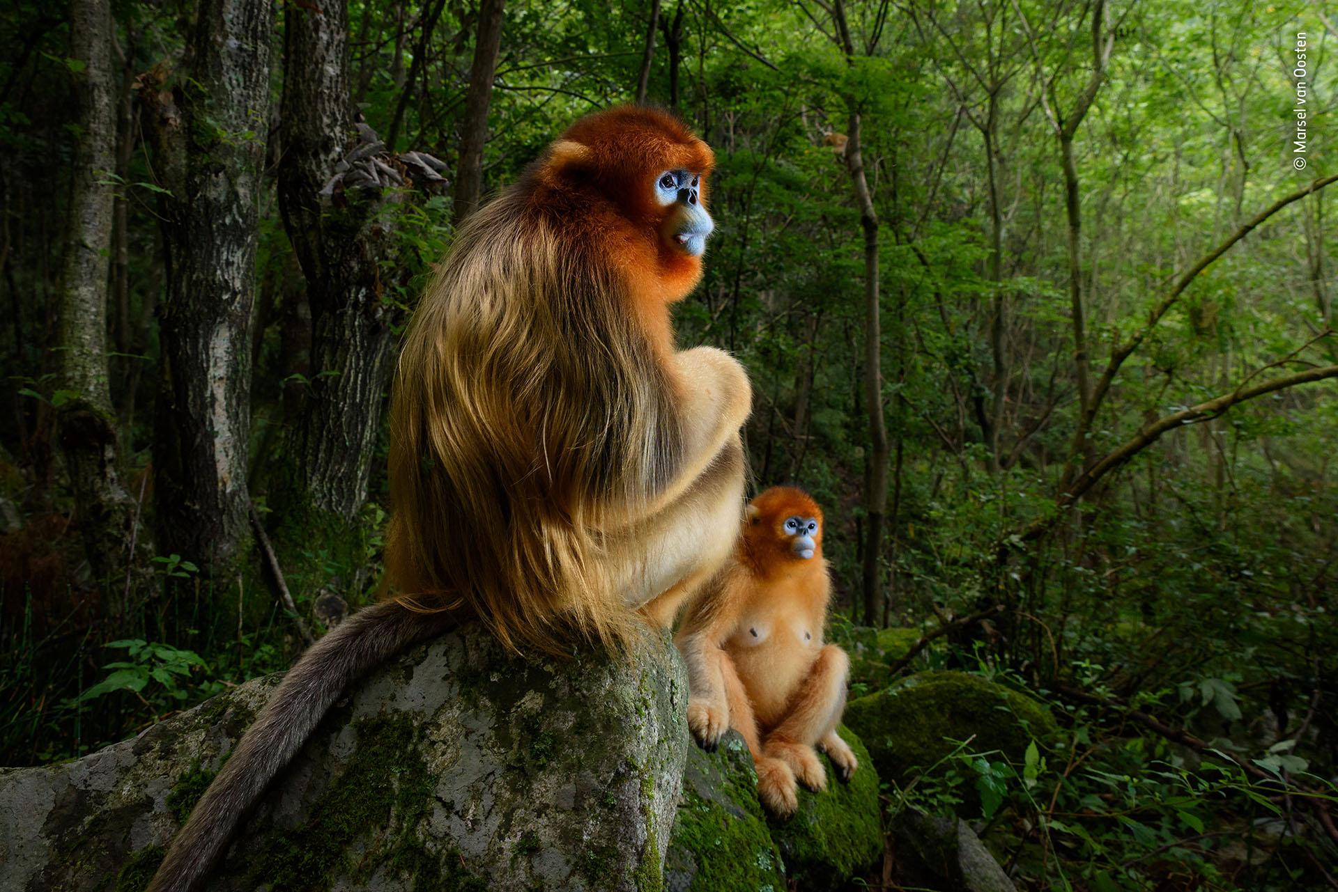 """Marsel van Oosten (Holanda), categoría Retrato de animales. """"La pareja dorada"""", dos primates de la especie langur chato dorado, en Qinling, China. """"Esta imagen es el recuerdo simbólico de la belleza de la naturaleza y cómo nos empobrecemos al destruirla"""", indicó Roz Kidman, miembro del jurado, sobre la foto ganadora anual"""
