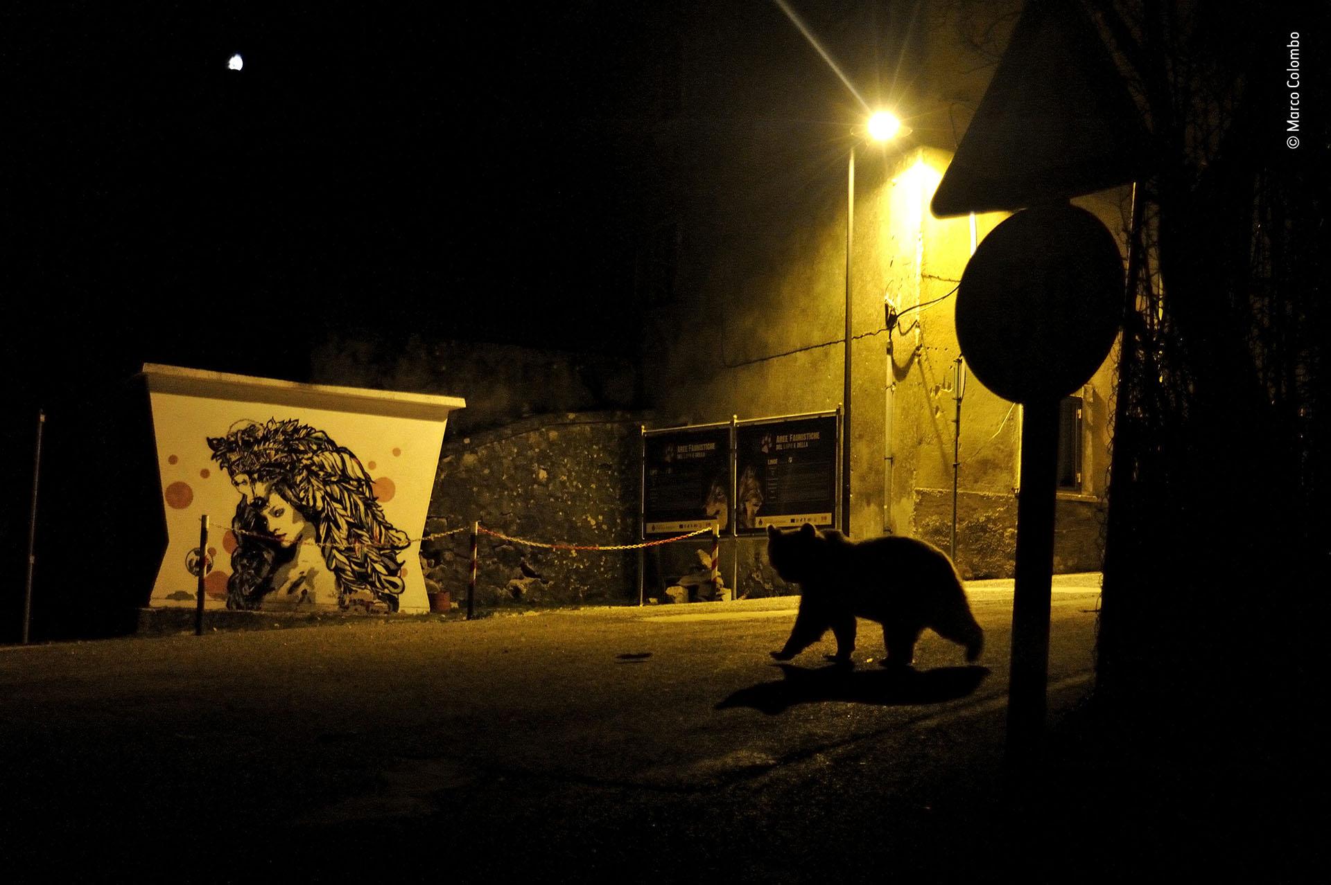 """Marco Colombo (Italia), categoría Vida silvestre urbana. """"Caminos cruzados"""", un oso pardo de los Apeninos cruza una calle en Italia"""