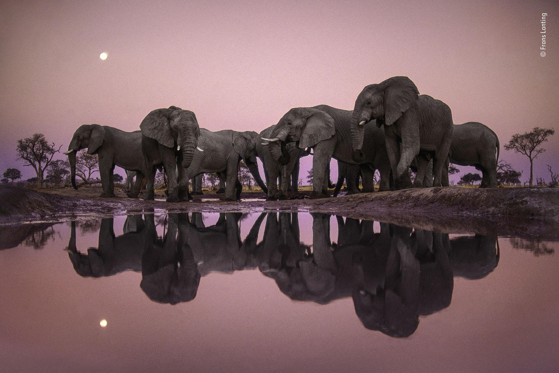 """Frans Lanting (Holanda), categoría Premio a la trayectoria. """"Elefantes al crepúsculo"""", una manada busca agua en la época de sequía en Botswana"""