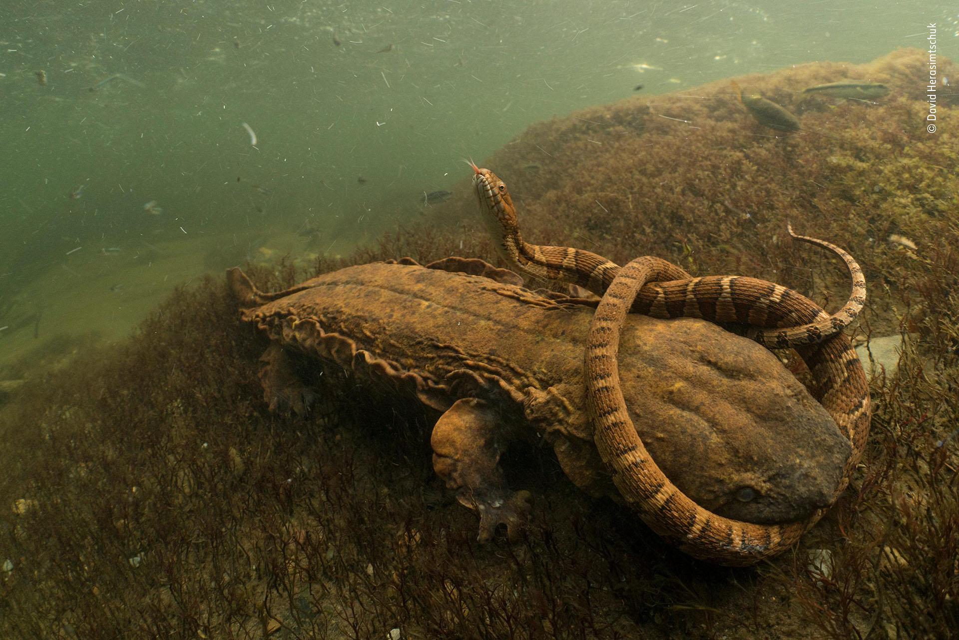 """David Herasimtschuk (EEUU), cateogría Comportamientos de anfibios y reptiles. """"Empeñado"""", una serpiente es mordida por una salamandra americana gigante en un río de Tennessee"""