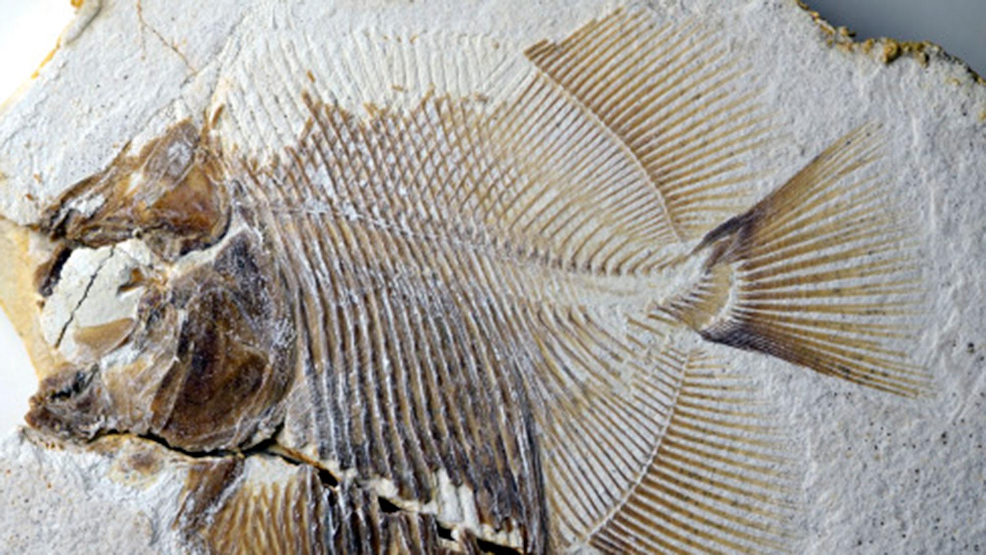 """""""El nuevo hallazgo representa el registro más antiguo de un pez huesudo que pica a otros peces, y, además, lo hacía en el mar"""", apuntaron investigadores quelas pirañas actuales viven en agua dulce"""