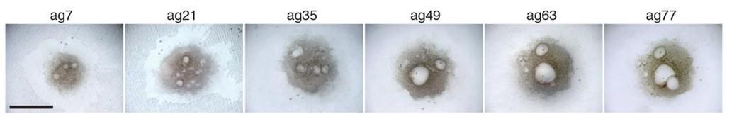 Esta imagen muestra el crecimiento de óvulos en un ovario artificial, cultivado en laboratorio, de 7 días a 77 días. Imagen: Science