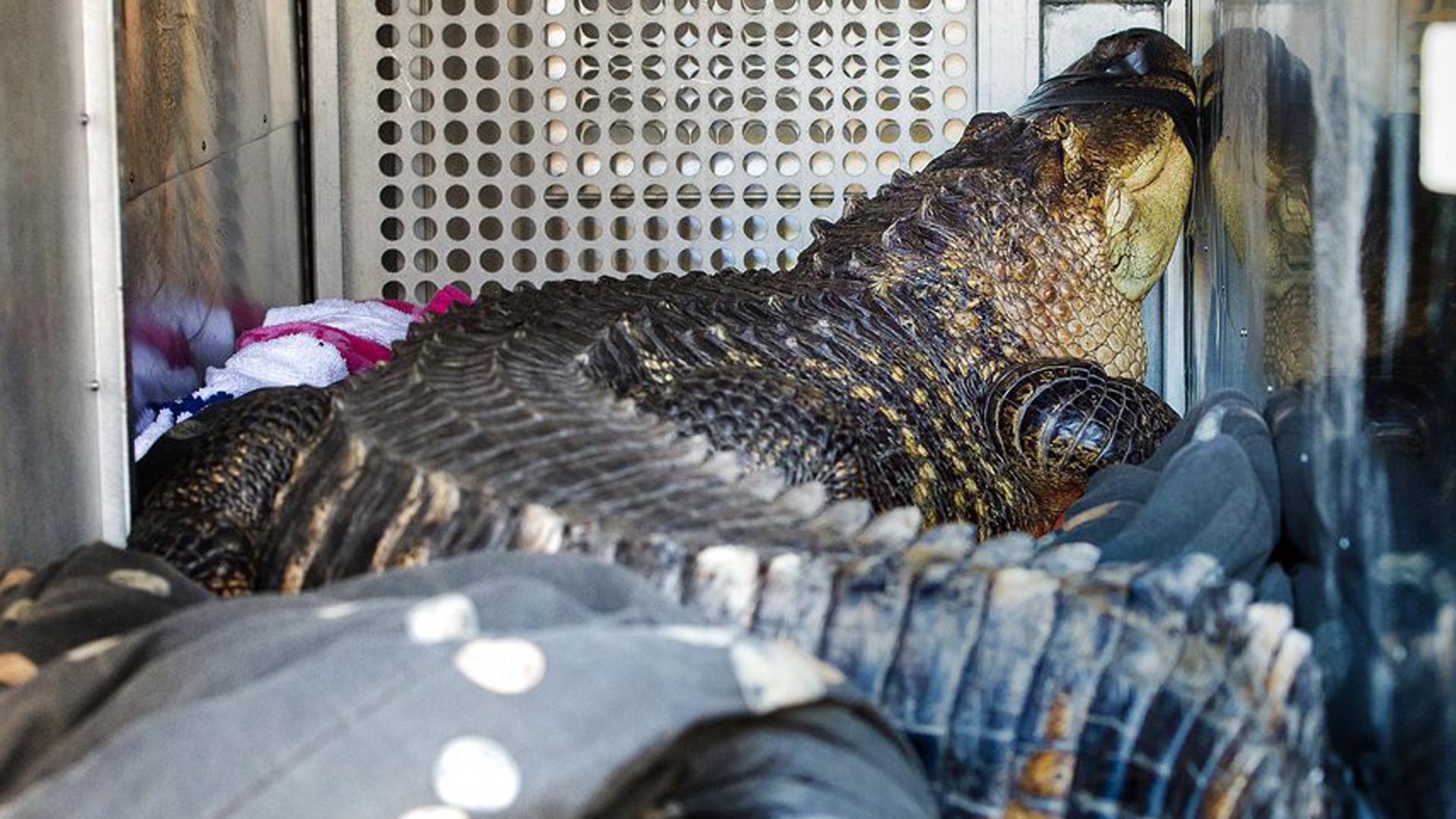 Catfish, el caimán que vivía en un jacuzzi de Kansas (AP)