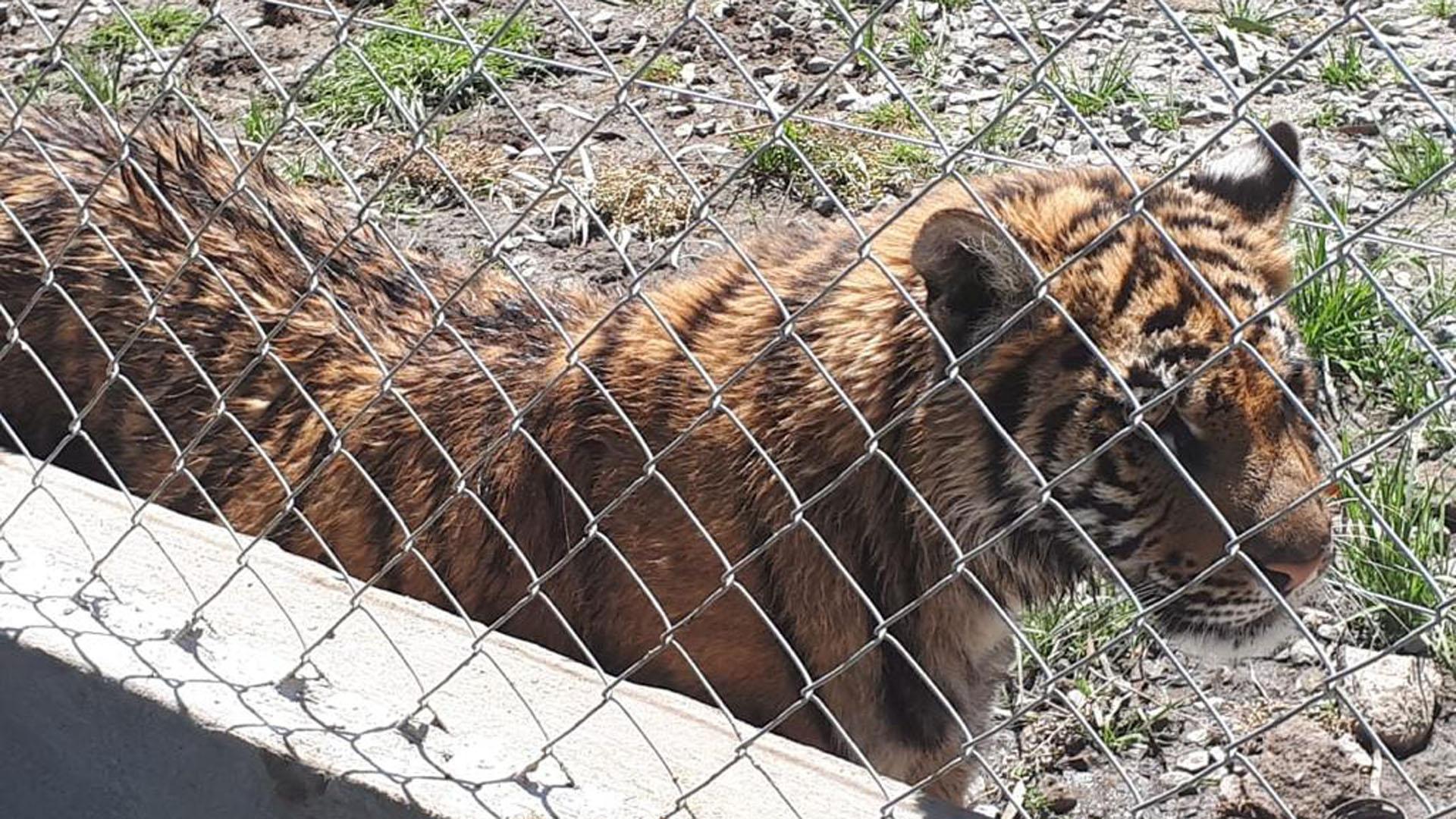 El tigre encontrado por la PFA y ambiente.