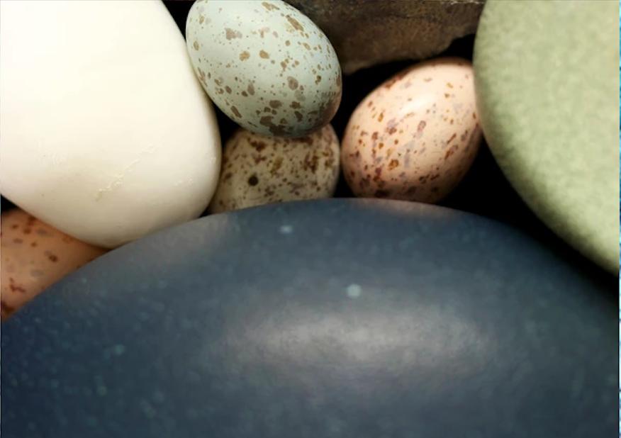 Huevos de aves en una comparación con huevos de dinosaurios. (jasminawiemann.com)